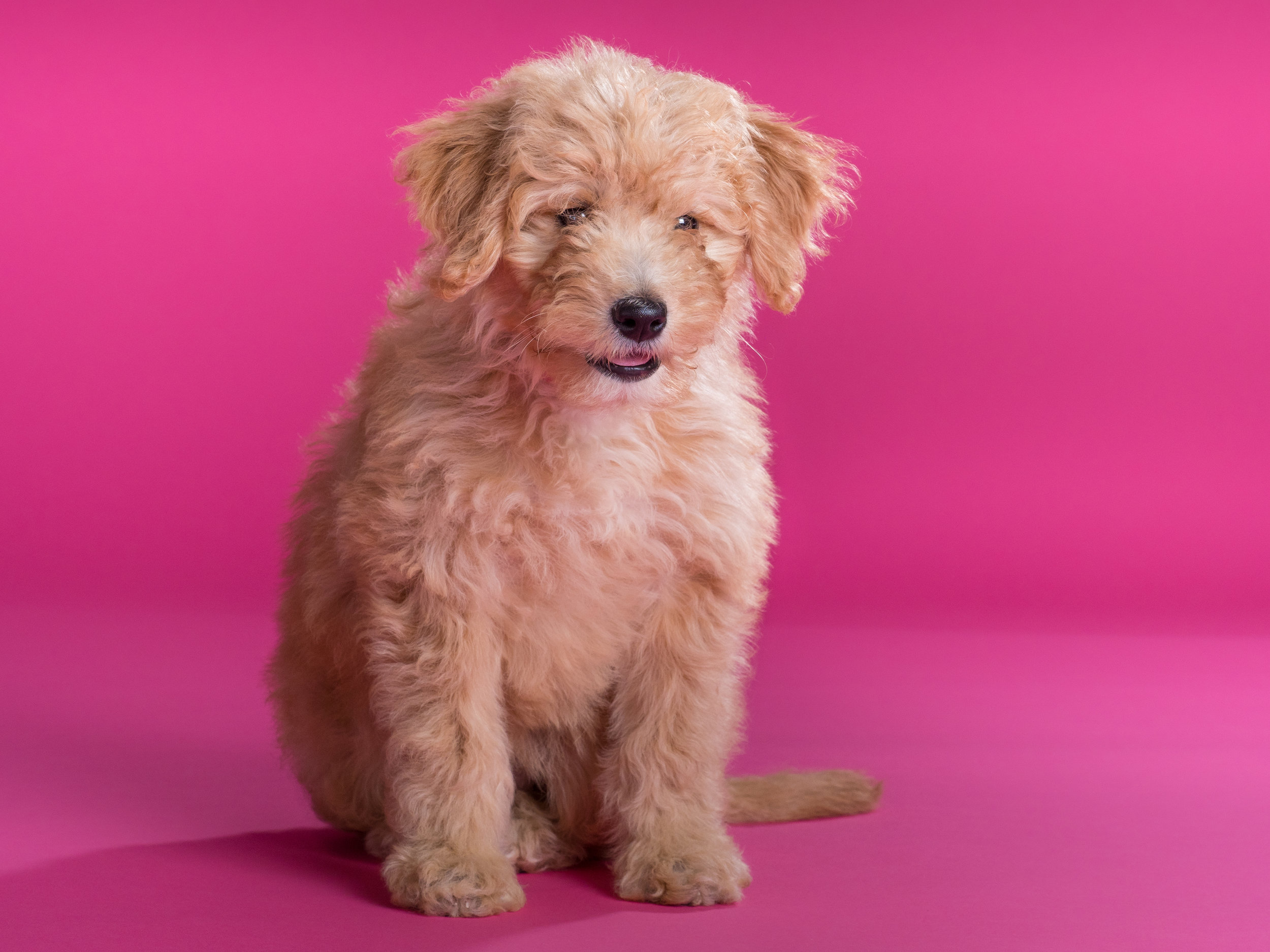 Bailey_goldendoodle_puppy_portraits_7.jpg