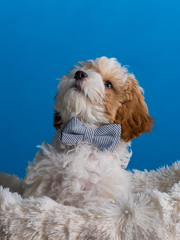 cavapoo_dog_pet_portrait_raleigh_5.jpg