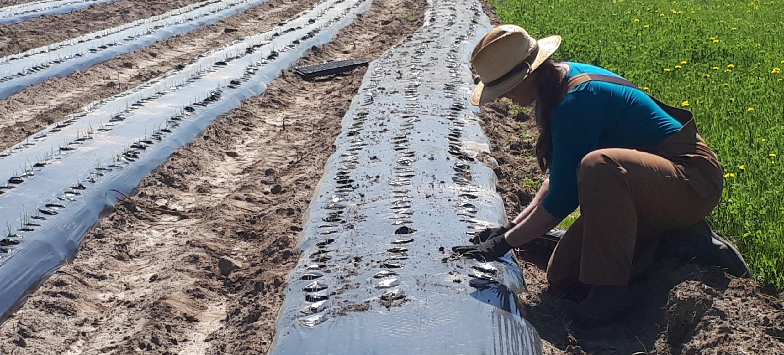 Transplanting onions into plastic mulch.