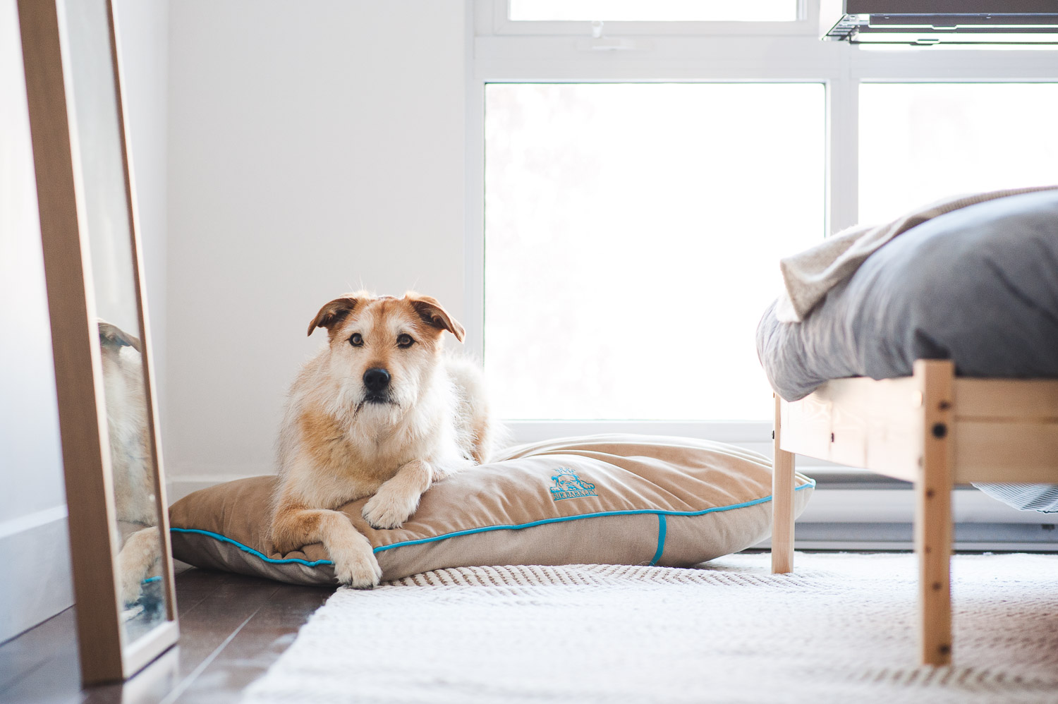 dog-on-dog-bed-in-bedroom
