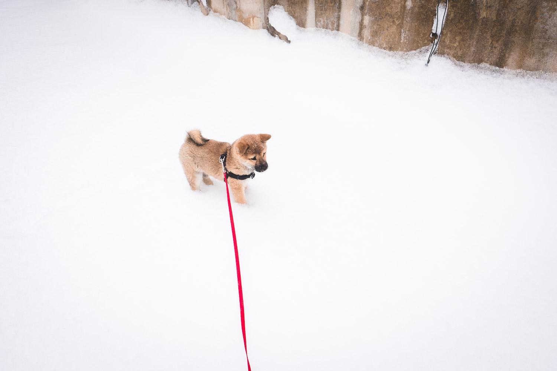 fuji-the-shiba-in-snow
