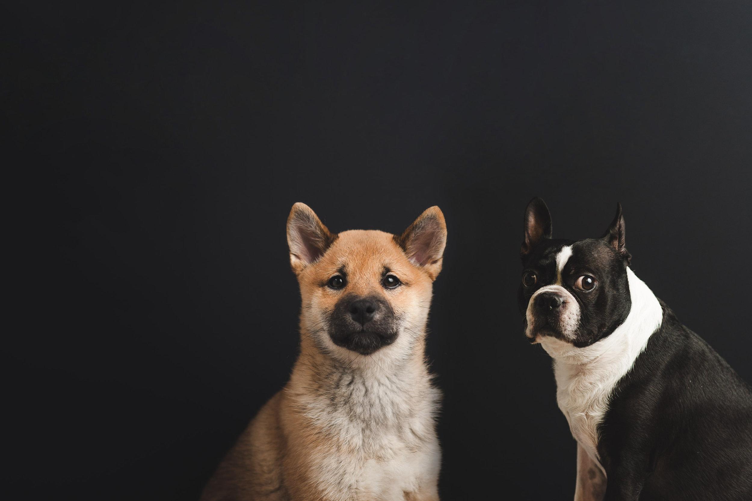 dogs-in-studio