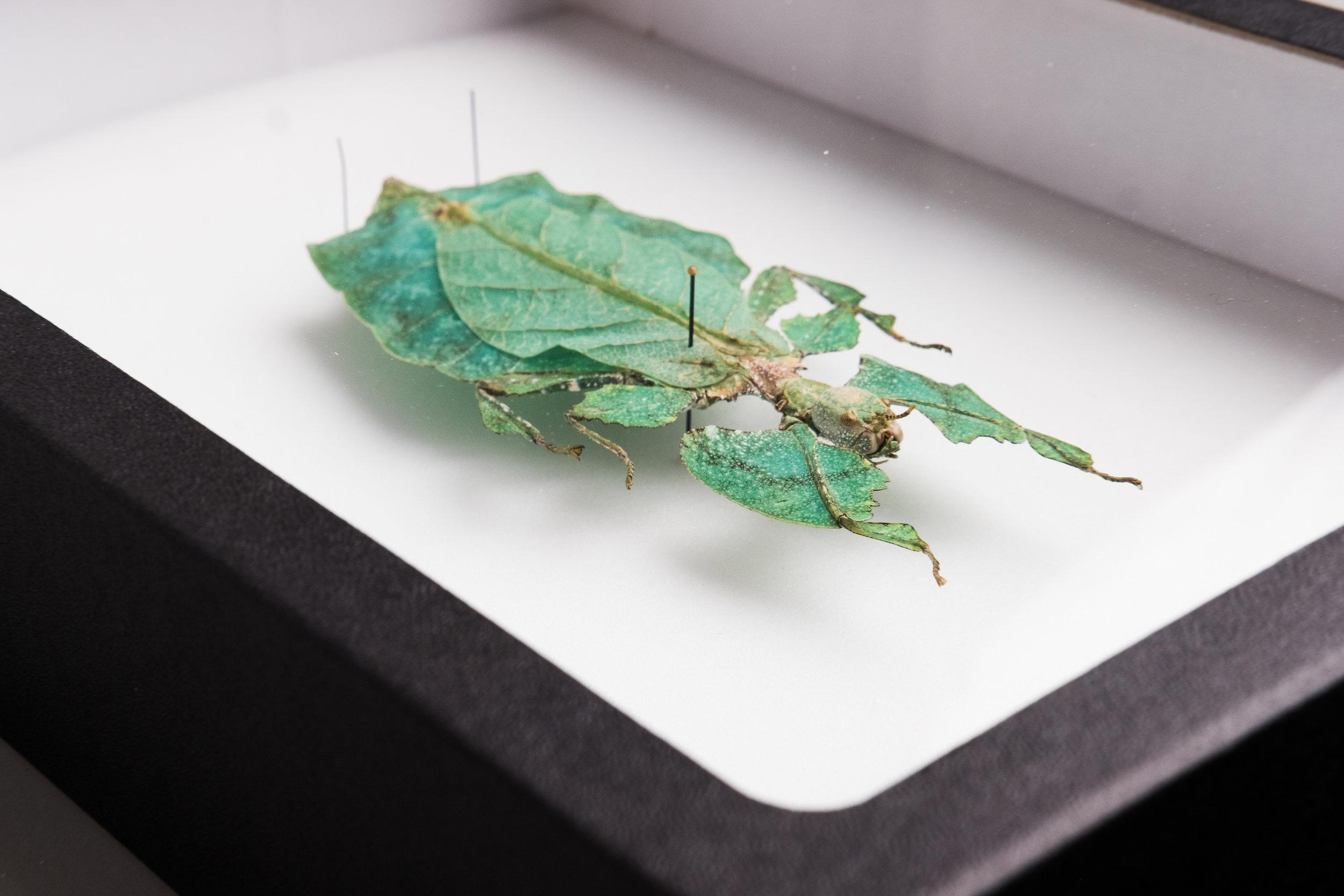phyllium-giganteum-montreal-insectarium