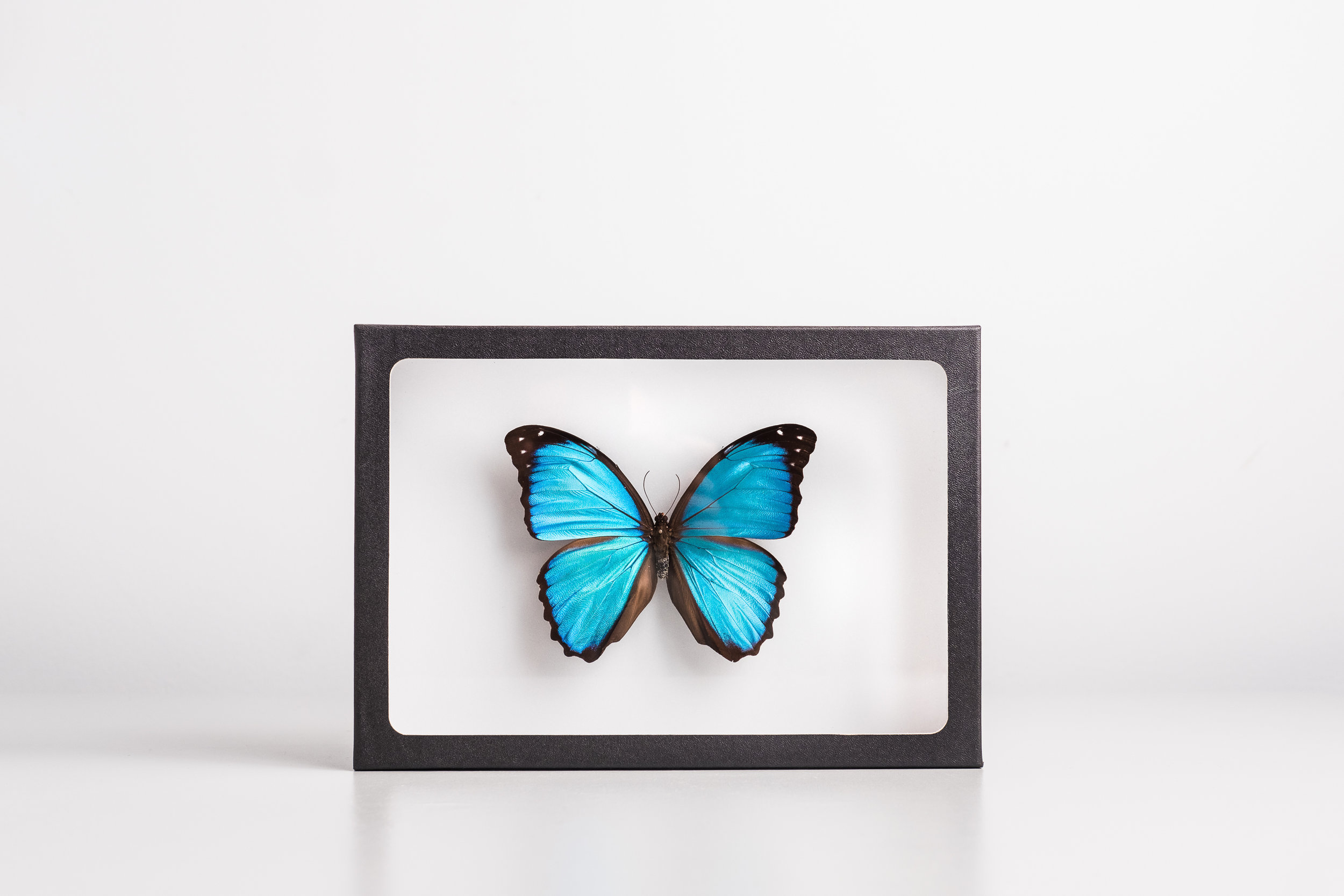 morpho-menelaus-montreal-insectarium-art-collaboration