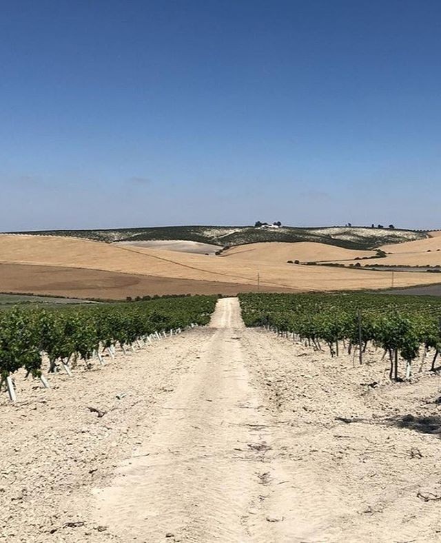The beautiful vineyards XECO is proud to call home at @bodegadiezmerito⠀⠀ ⠀⠀ Pictured here at the start of May with the grapes just starting to swell and ripen.⠀⠀ ⠀⠀ #givemeaxeco #sherryharvest⠀⠀ ⠀⠀