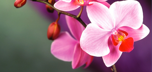 orchid-care-phal.jpg