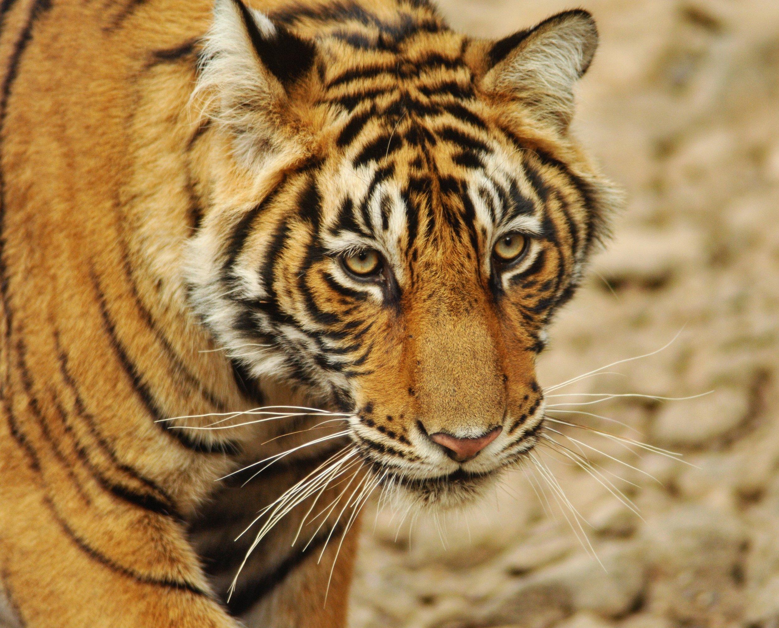 indian safari -