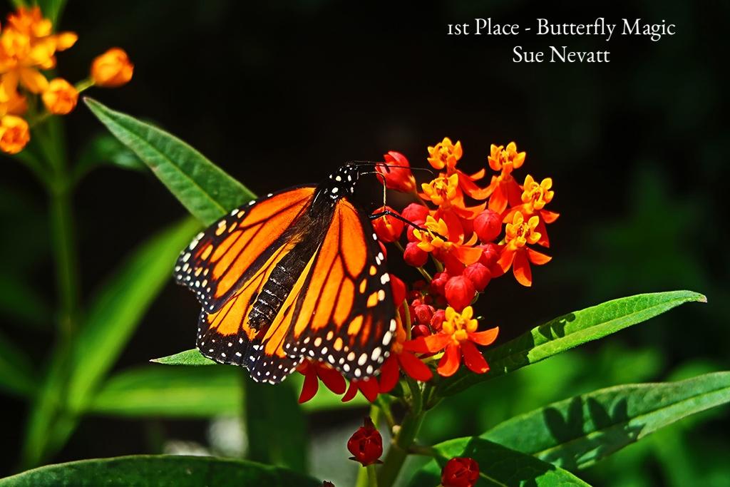 Butterfly Magic Sue Nevatt 1st.jpg