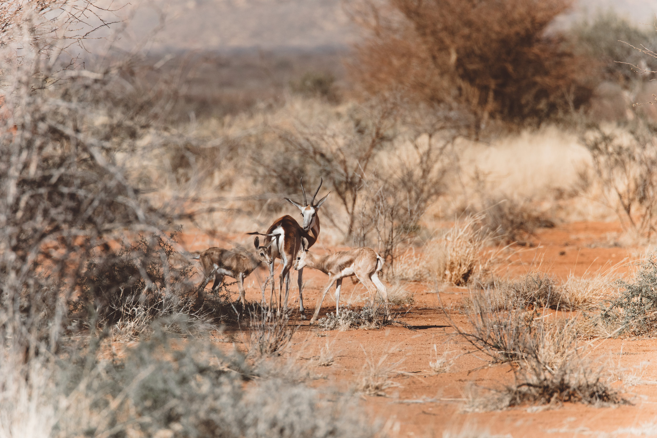 My first sighting: a female springbok and her two calves