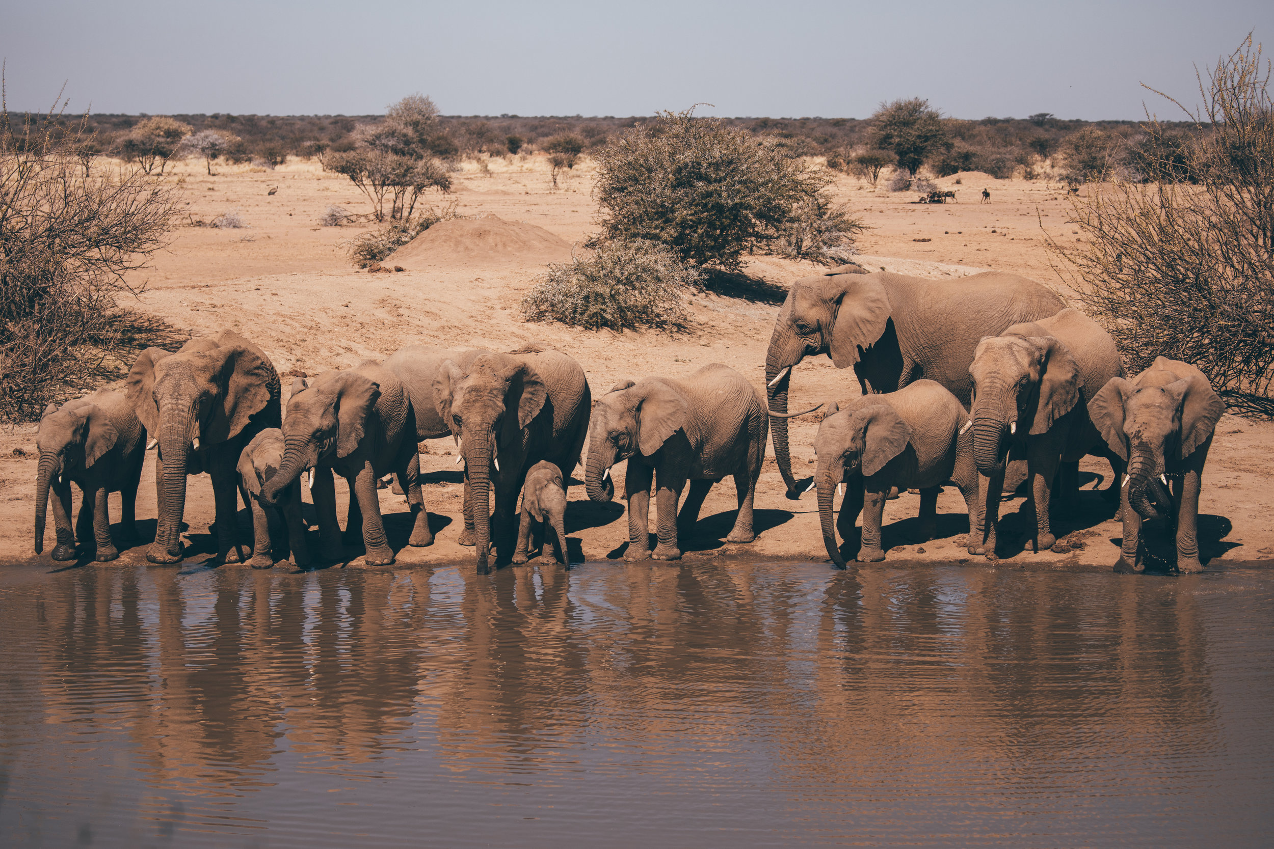 A herd of elephants stops by the watering hole at lunch