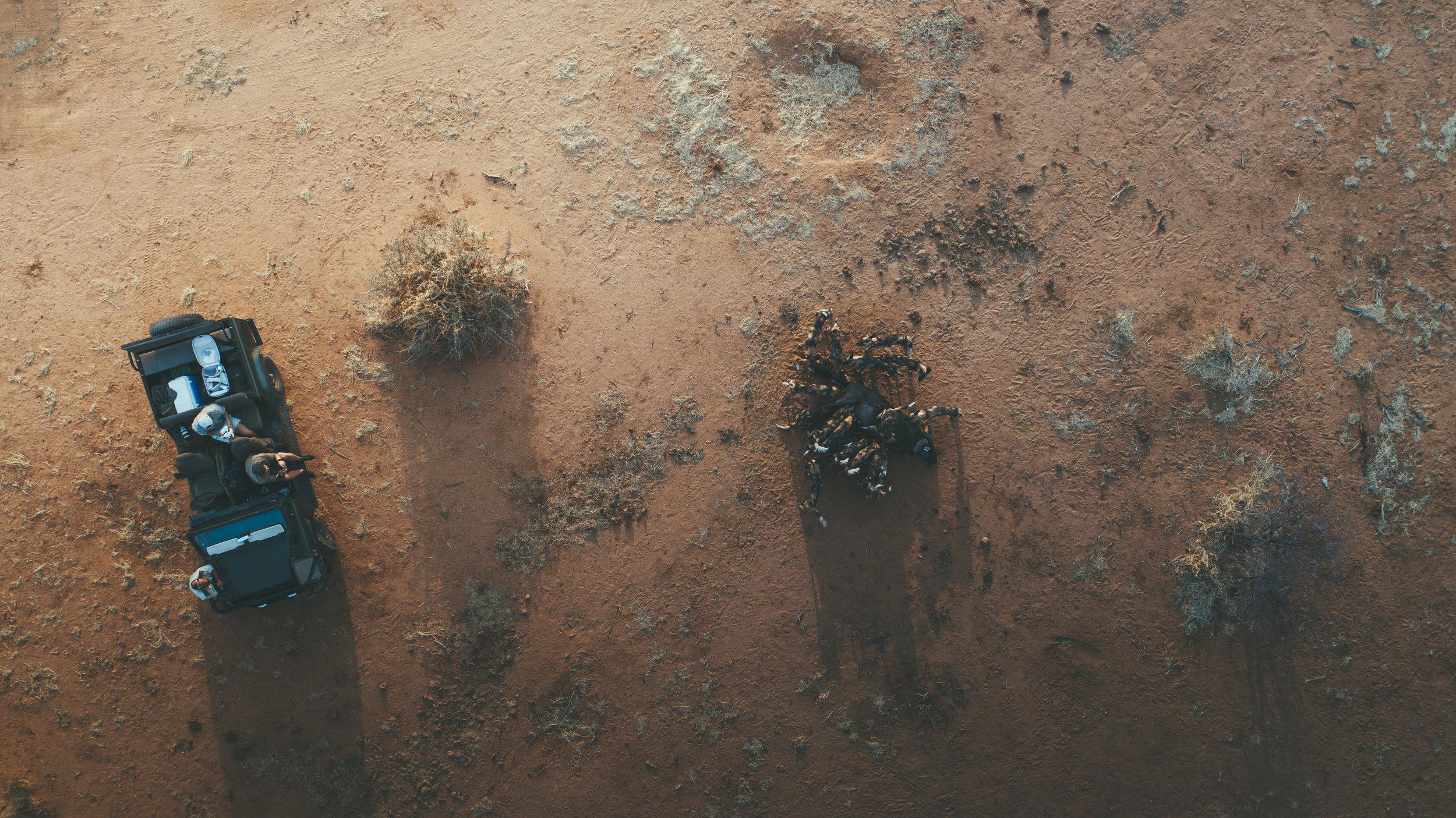 We watch as the wild dogs devour a wildebeest carcass