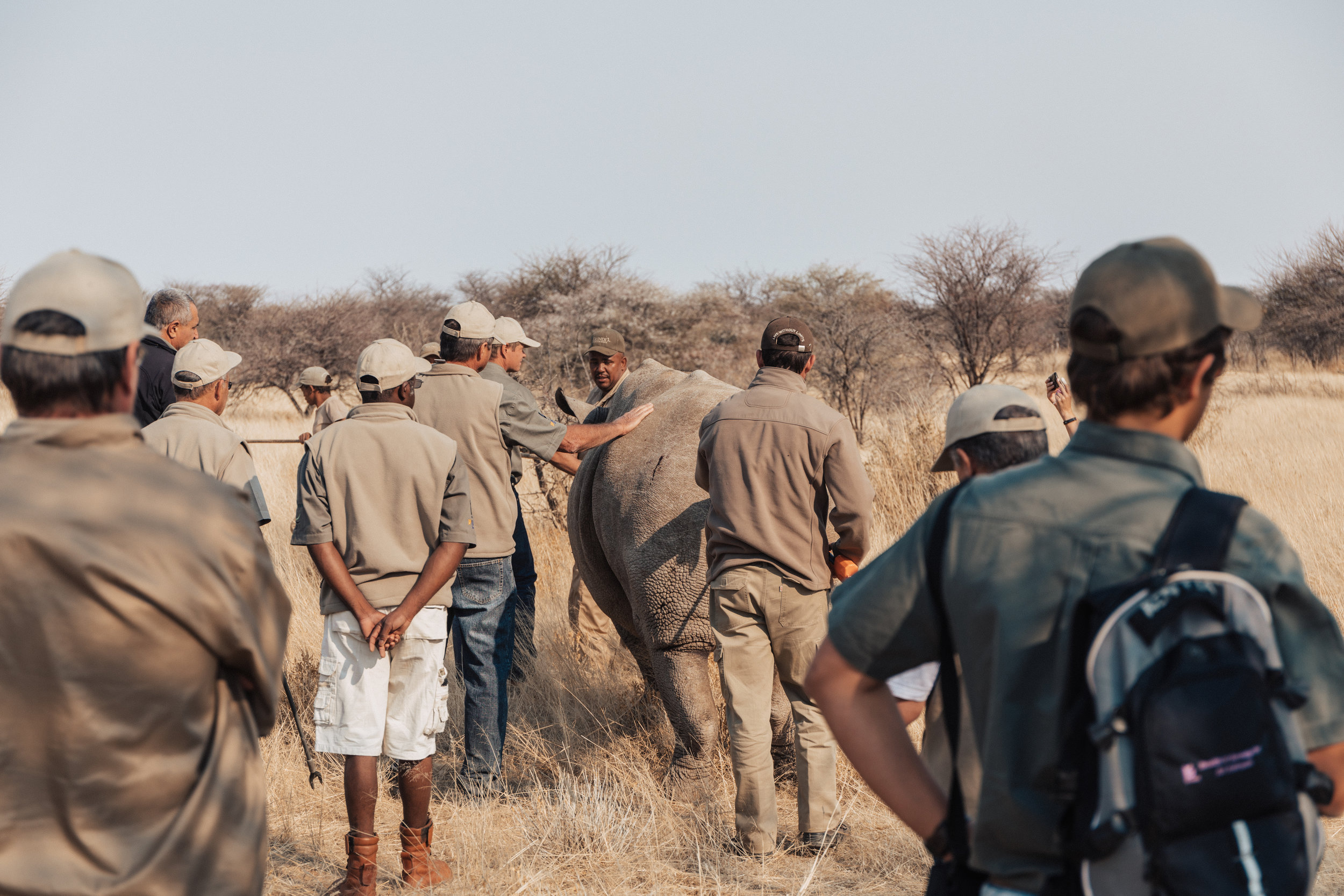The vets and reserve workers help the white rhino to its feet