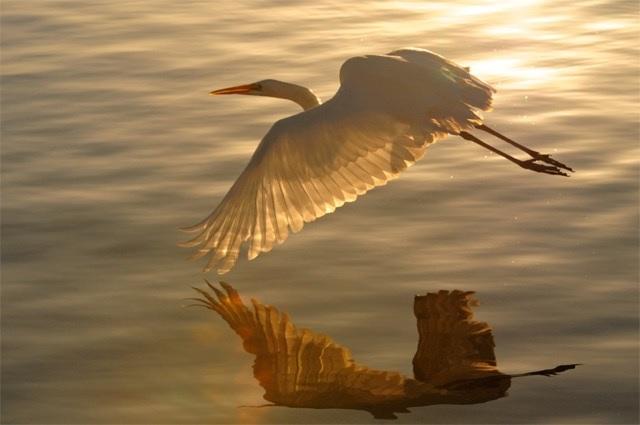 White Heron over the Water.jpg