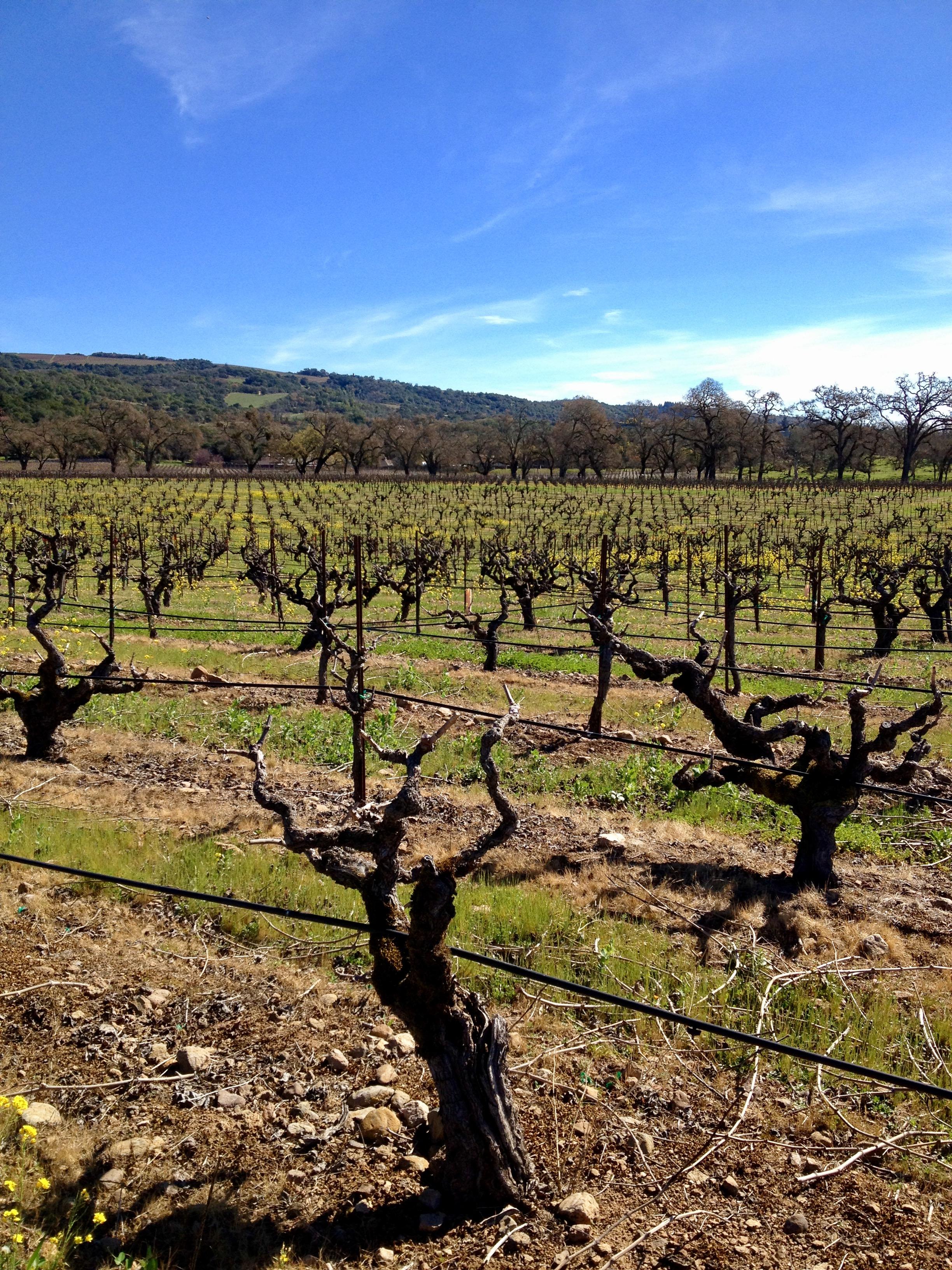 Bedrock Vineyard after pruning