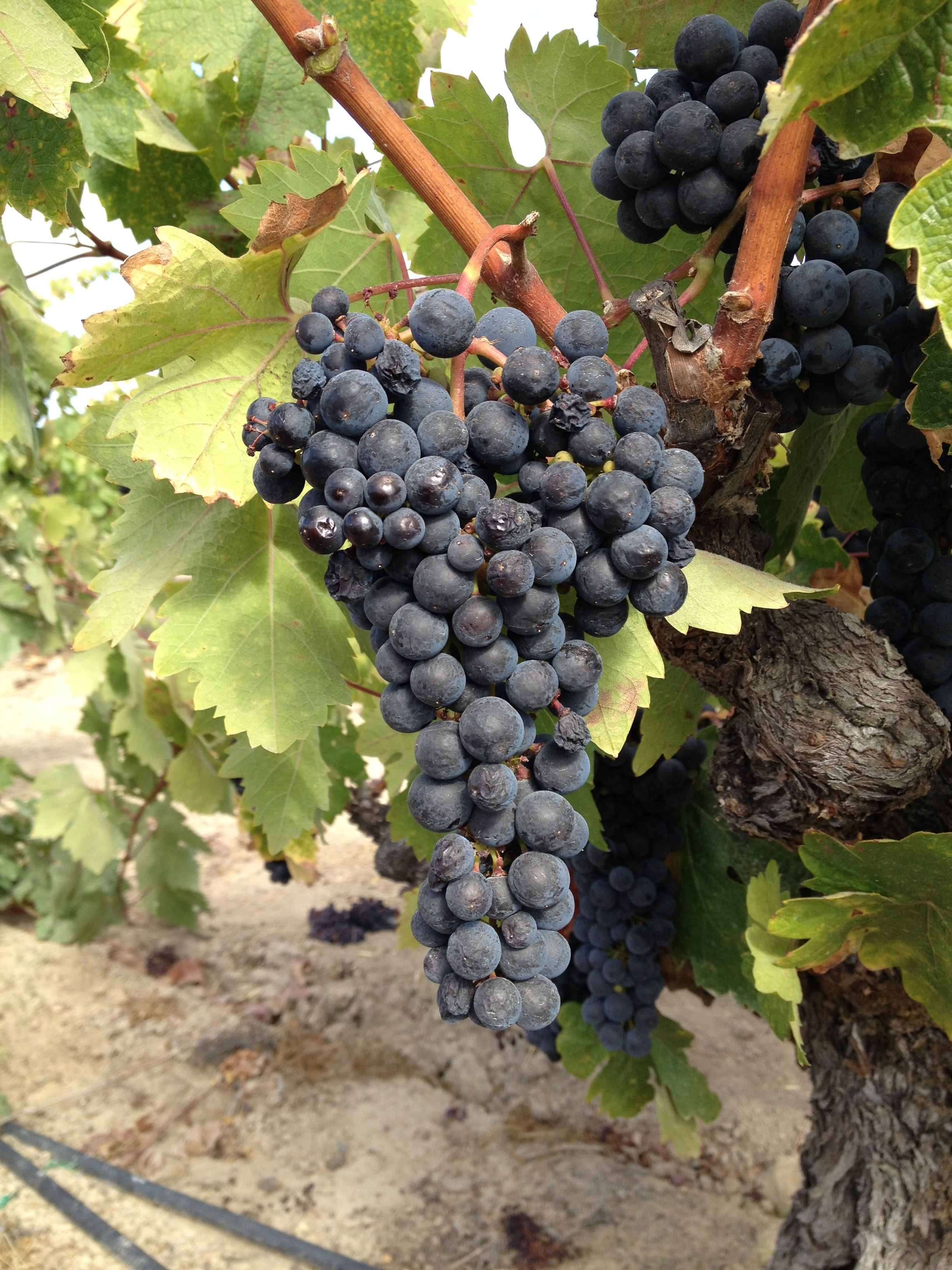 Zinfandel ready for picking