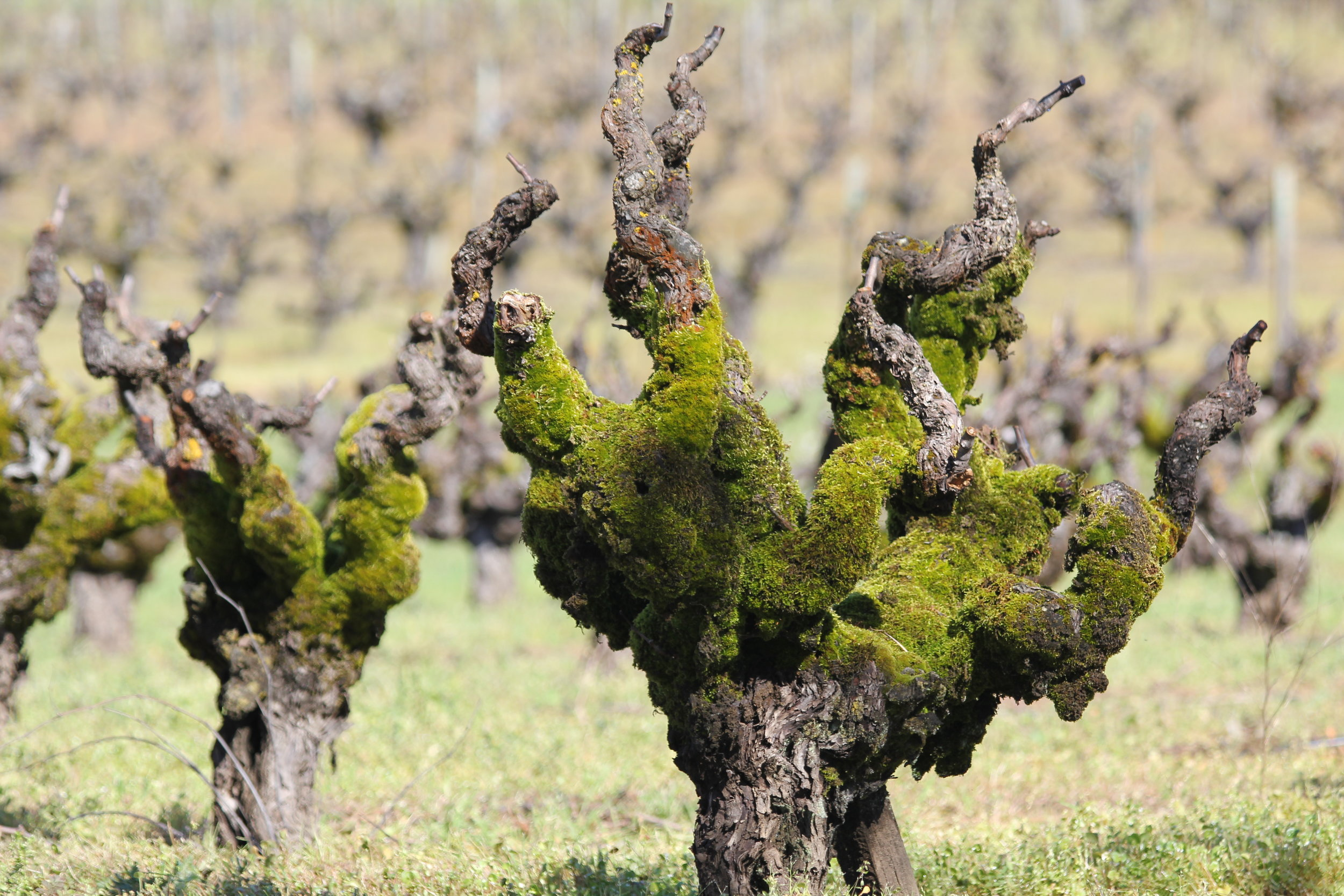 Moss covered Carignane