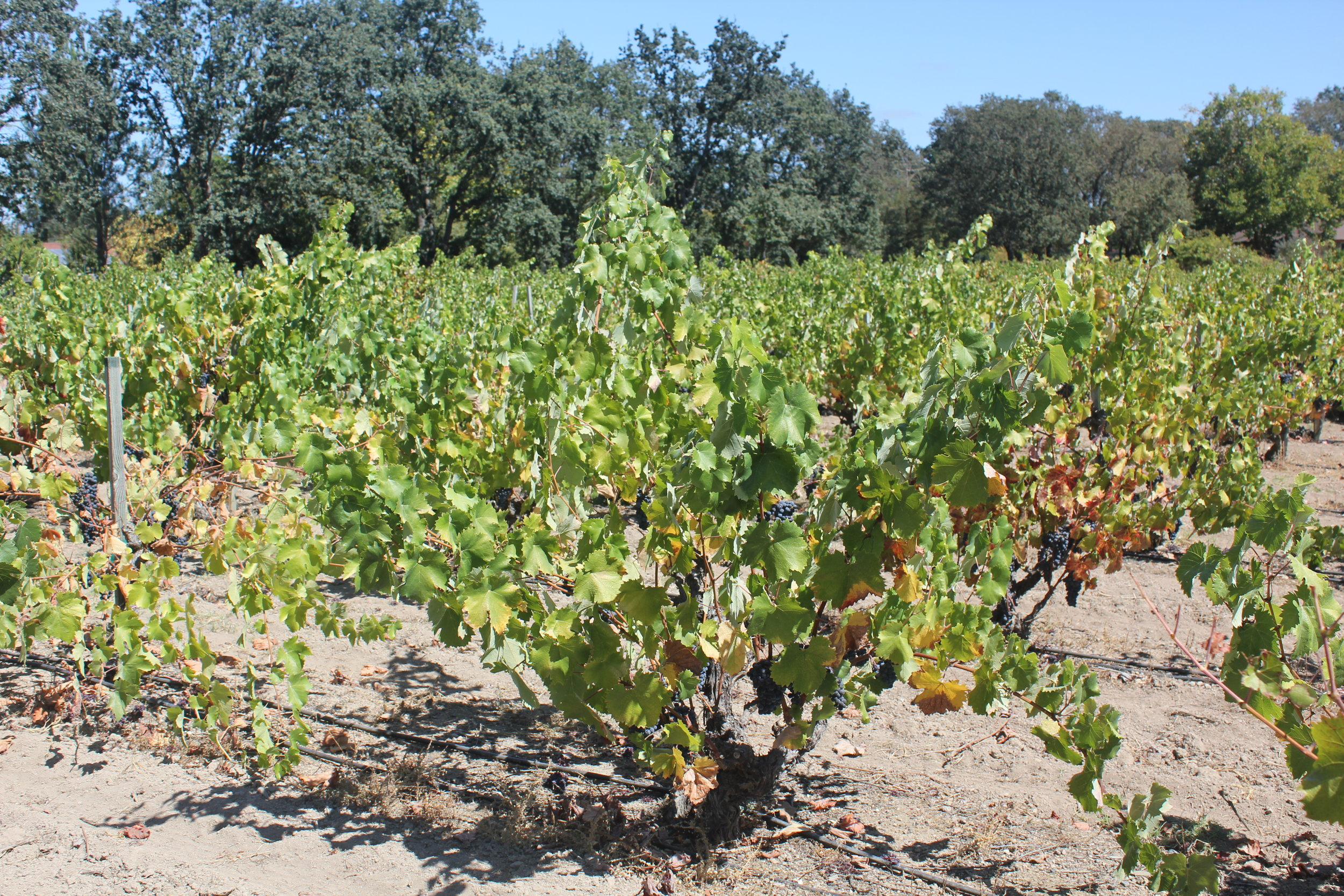 Mourvèdre is very upright in growth