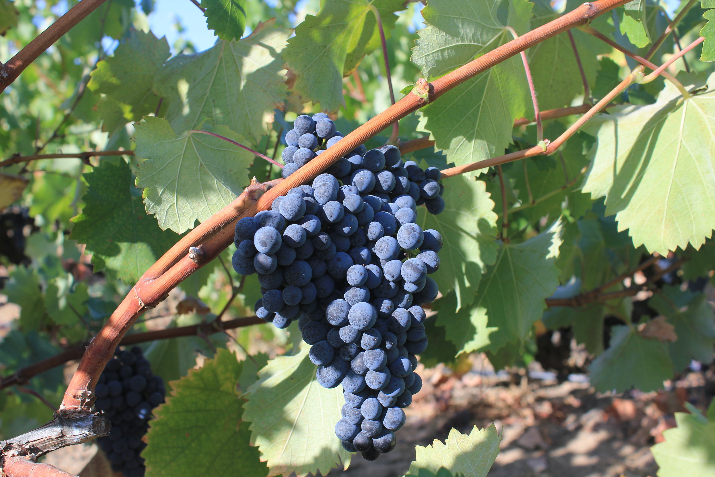 Mourvèdre, up close and personal