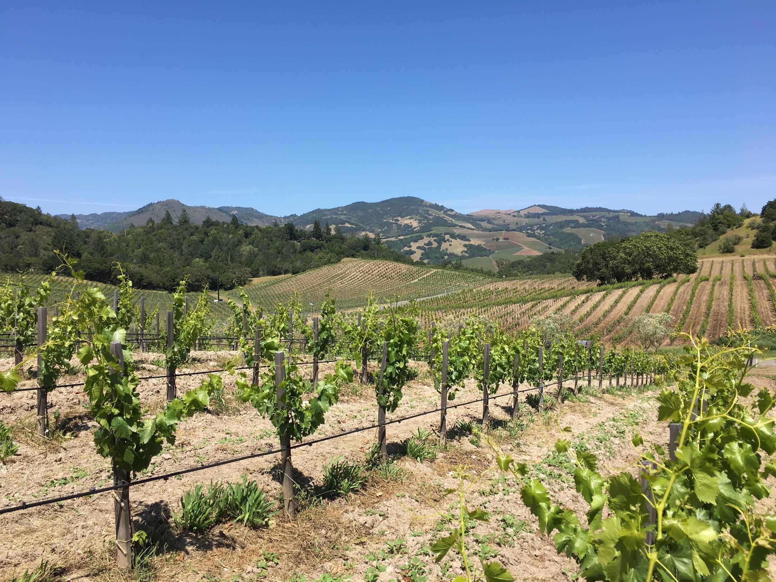 New Grenache vines at Rossi
