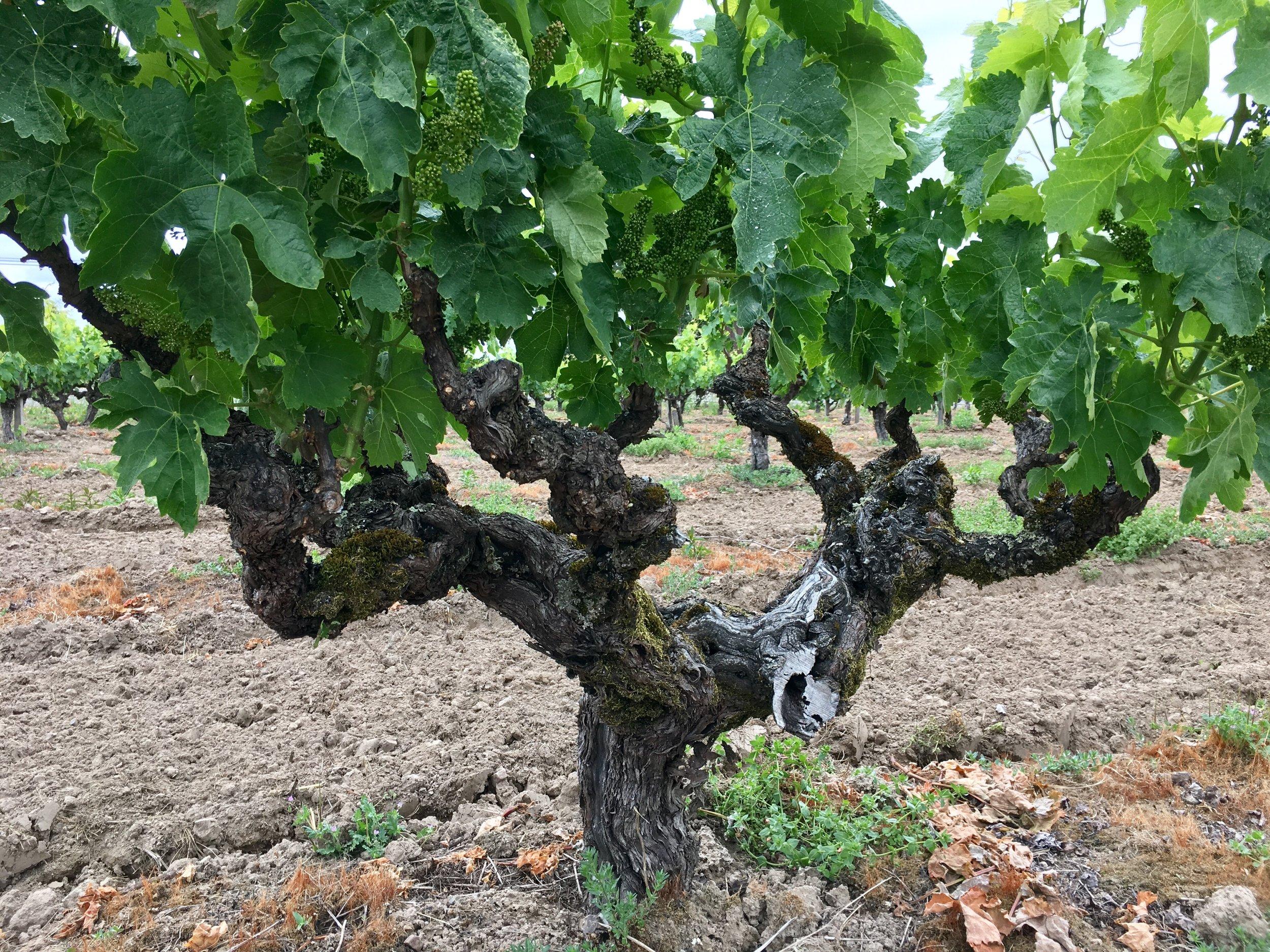 Old Carignane vine