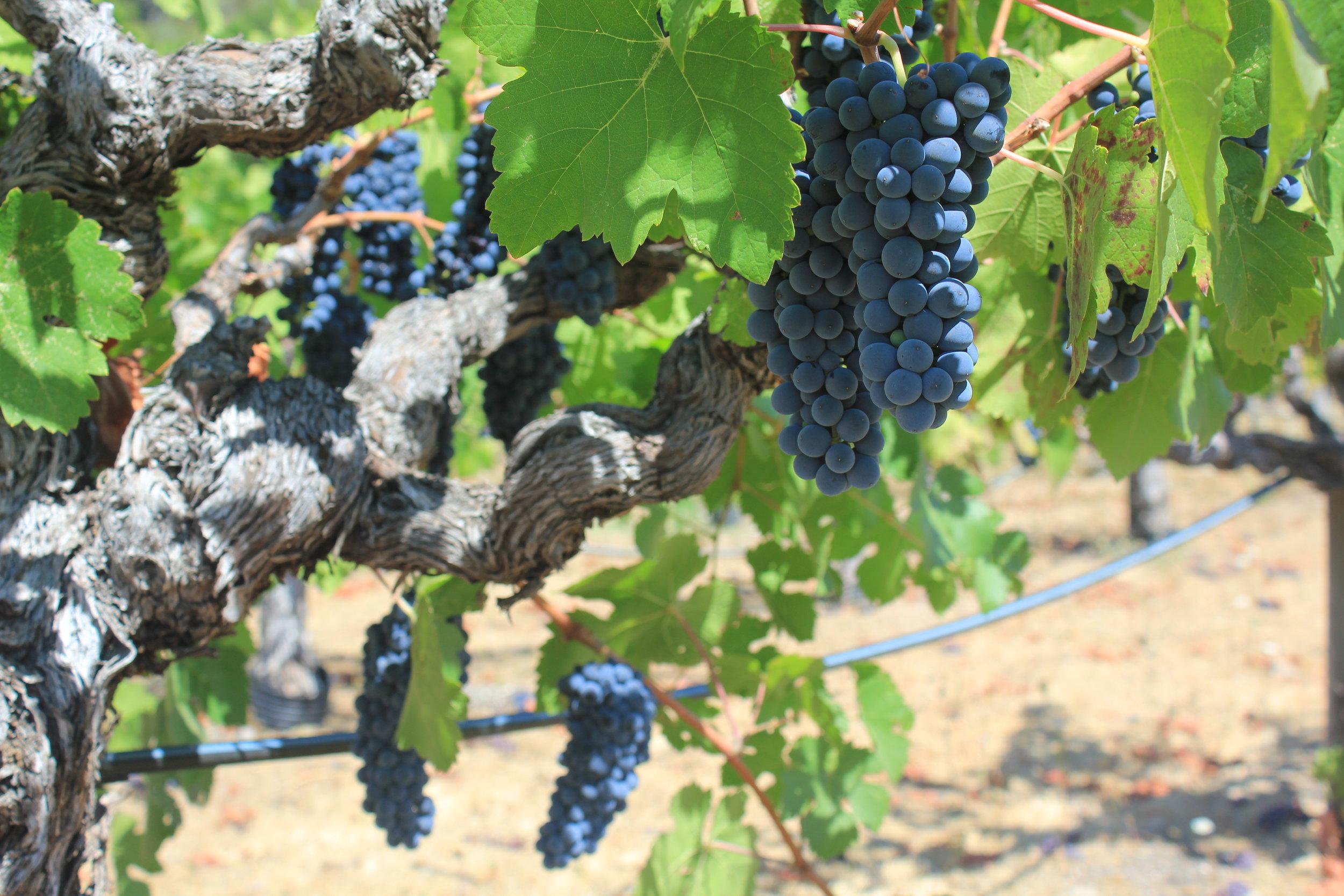 Blue-black clusters of Petite Sirah
