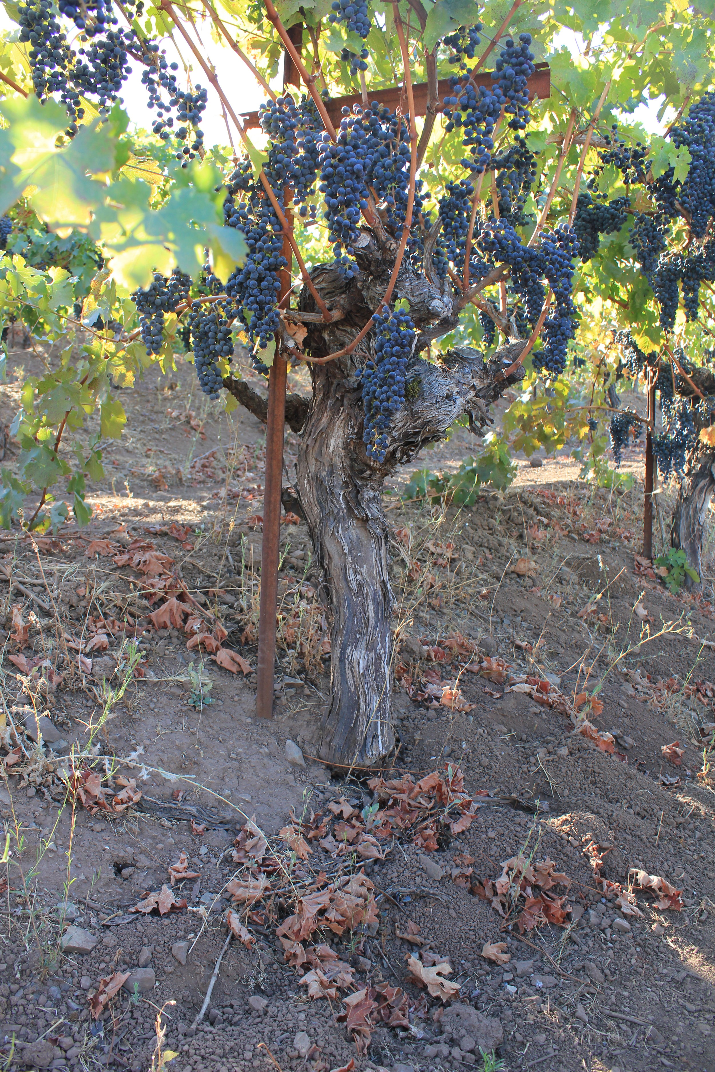 No drip lines in this vineyard!