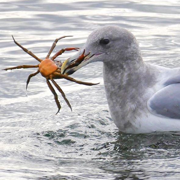 40_Gull vs Crab.JPG