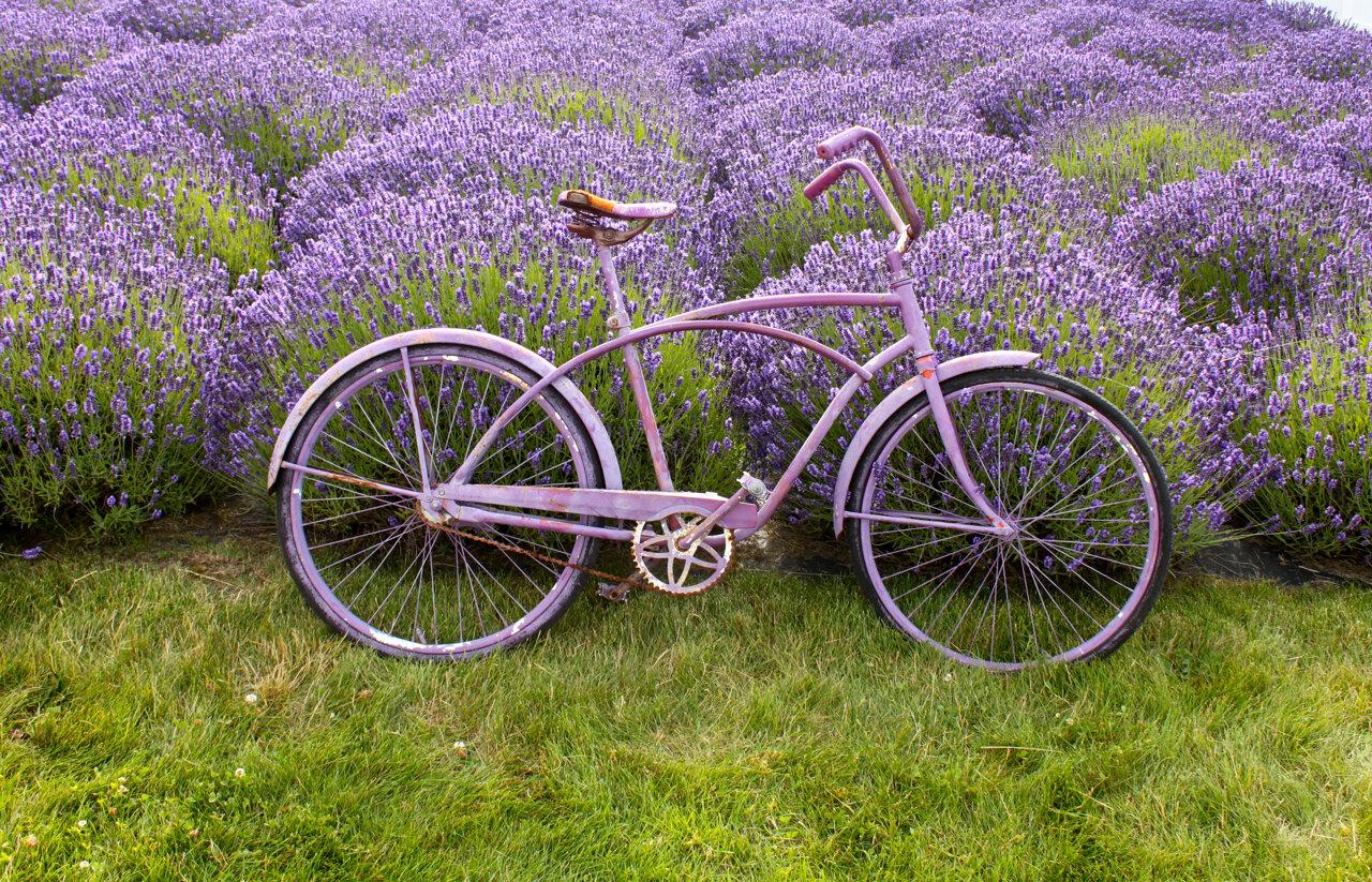 Atorres_Purple bicicle.jpg