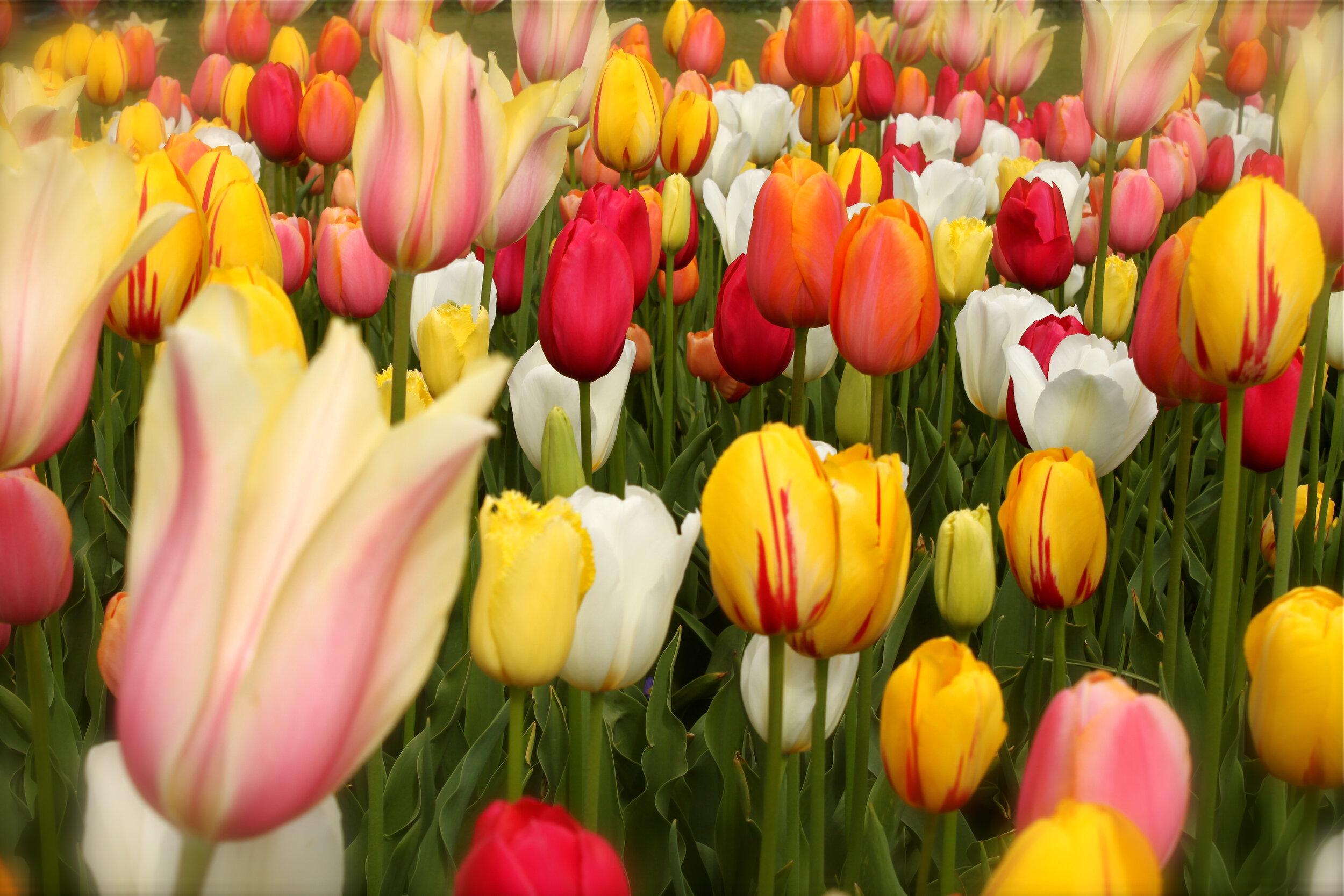Atorres_Tulips.jpg