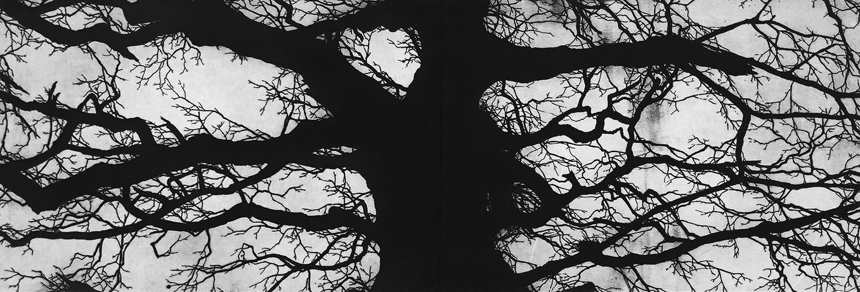 The Oak, Richmond -   Etching - 40cm x 120cm - 2017 (edition of 45)