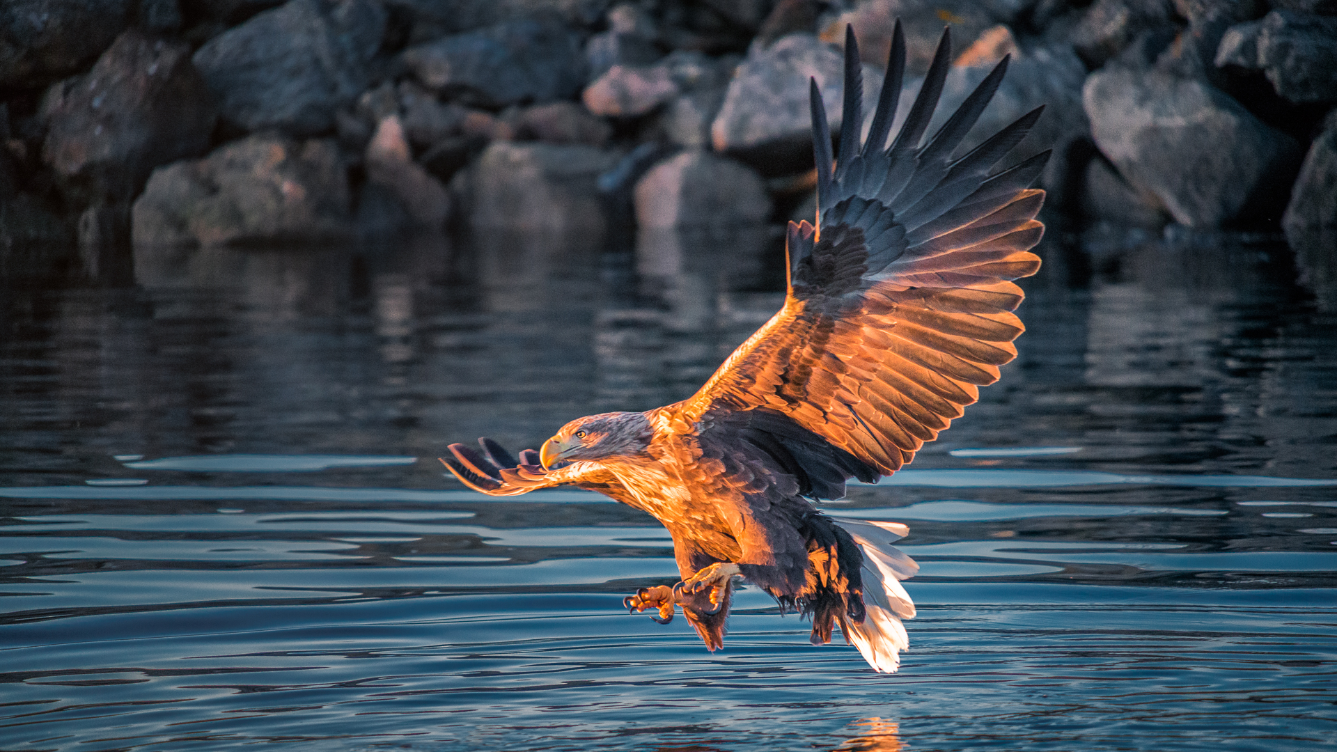 """White-tailed Eagle   In gaelic they call this Eagle """"IOLAIRE SULAIRE NA GREIN - EAGLE WITH THE SUNLIT EYE"""", isn't that beautiful? And fits to an old legend, translated of St. Augustine, which states that the eagle is the only animal which can look into the sun without getting hurt. """"The sun invigorates the eyes of eagles, but injures our own."""""""