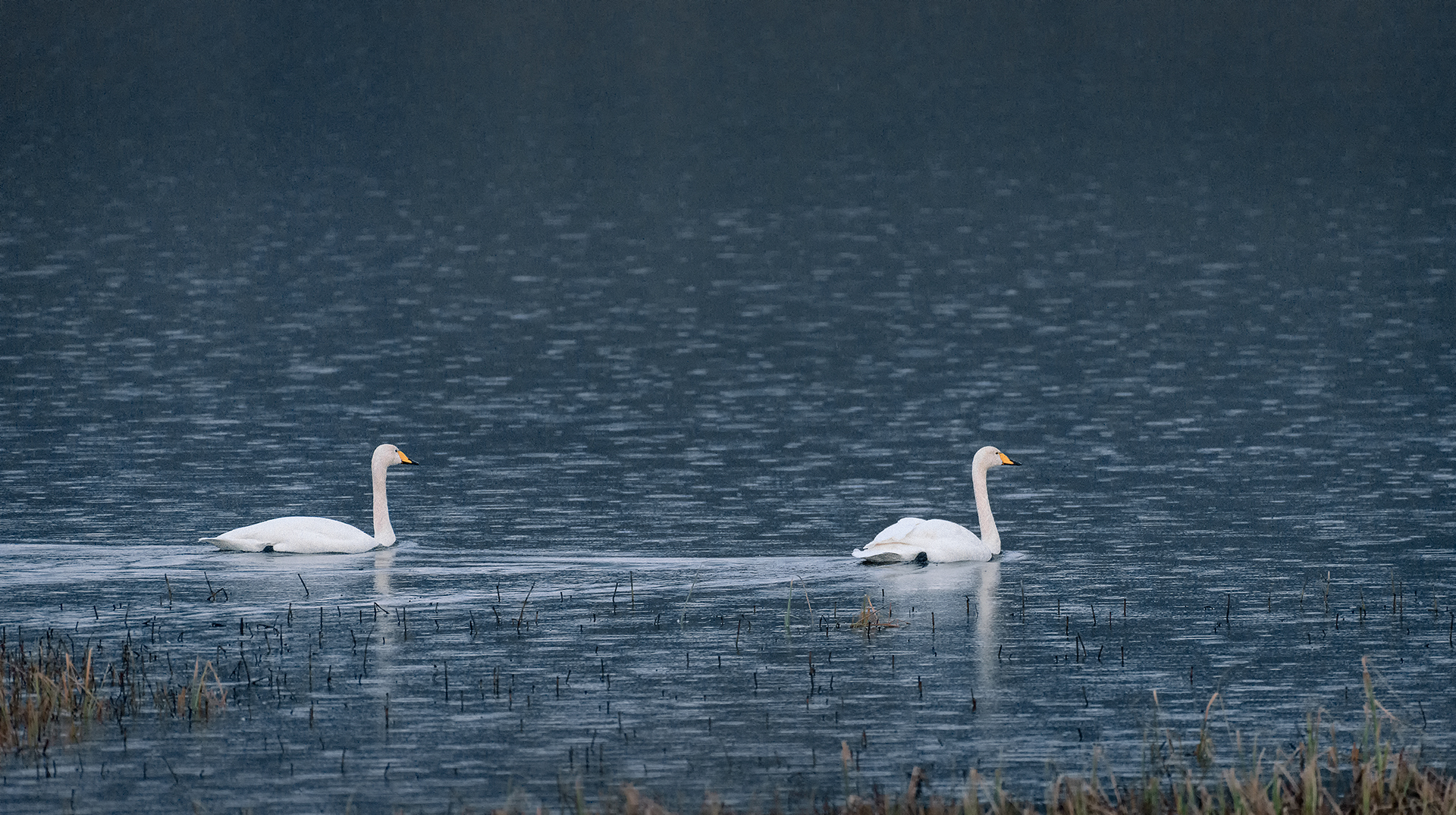 Swans - November Rain   Unwearied still, lover by lover,they paddle in the cold. Companionable streams or climb the air; Their hearts have not grown old;Passion or conquest, wander where they will,attend upon them still. (William Butler Yeats - The wild Swans at Coole)