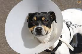 Dog after surgery.jpeg