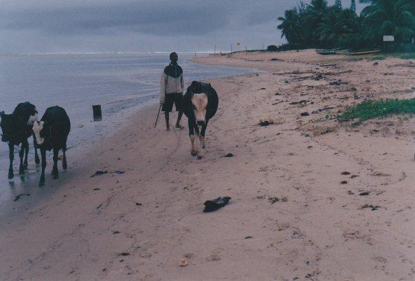 Herding cattle on the beach in Madagascar (Photo Credit: Valerie Wayson)
