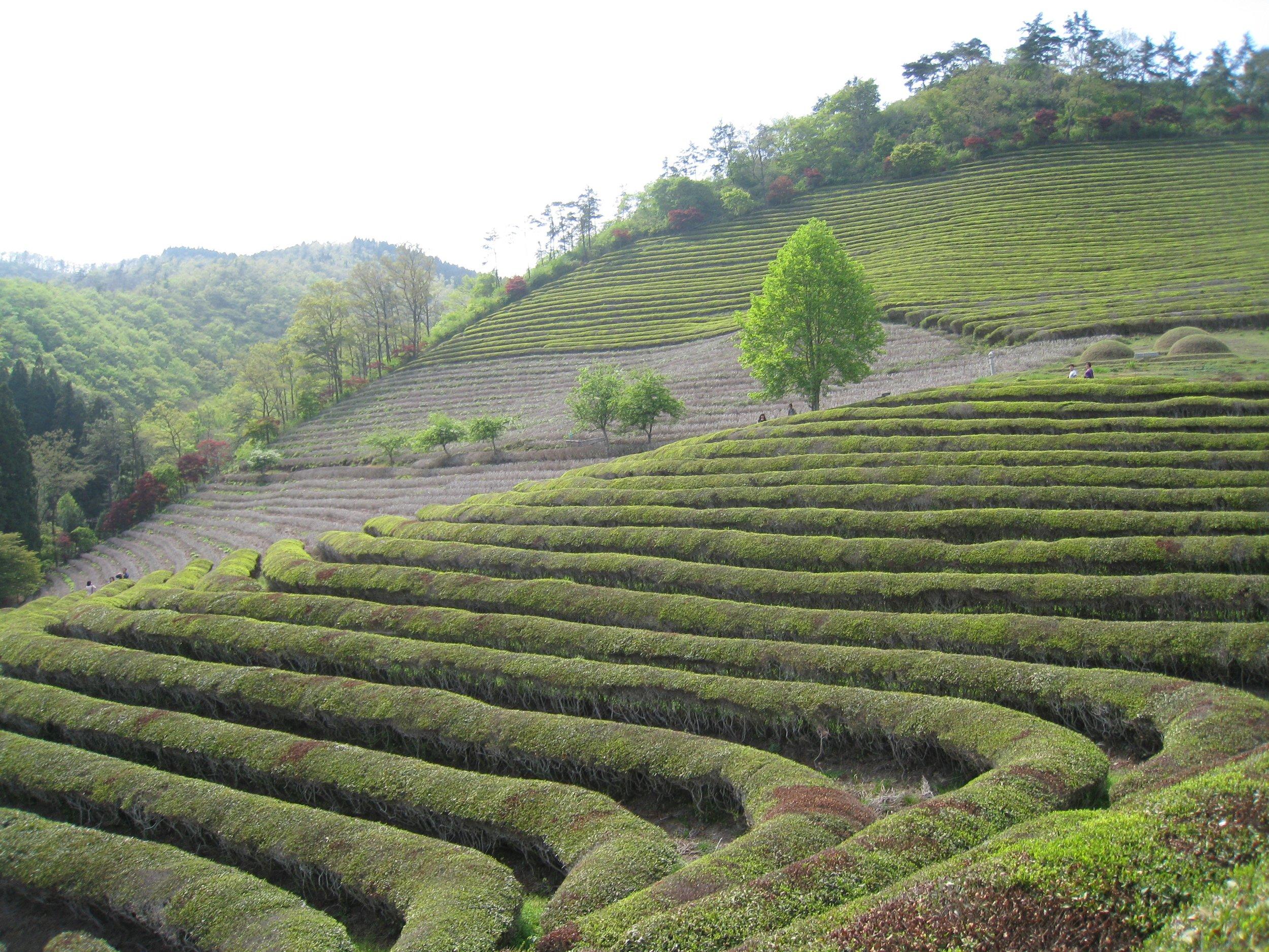The Boseong Tea Fields in South Korea