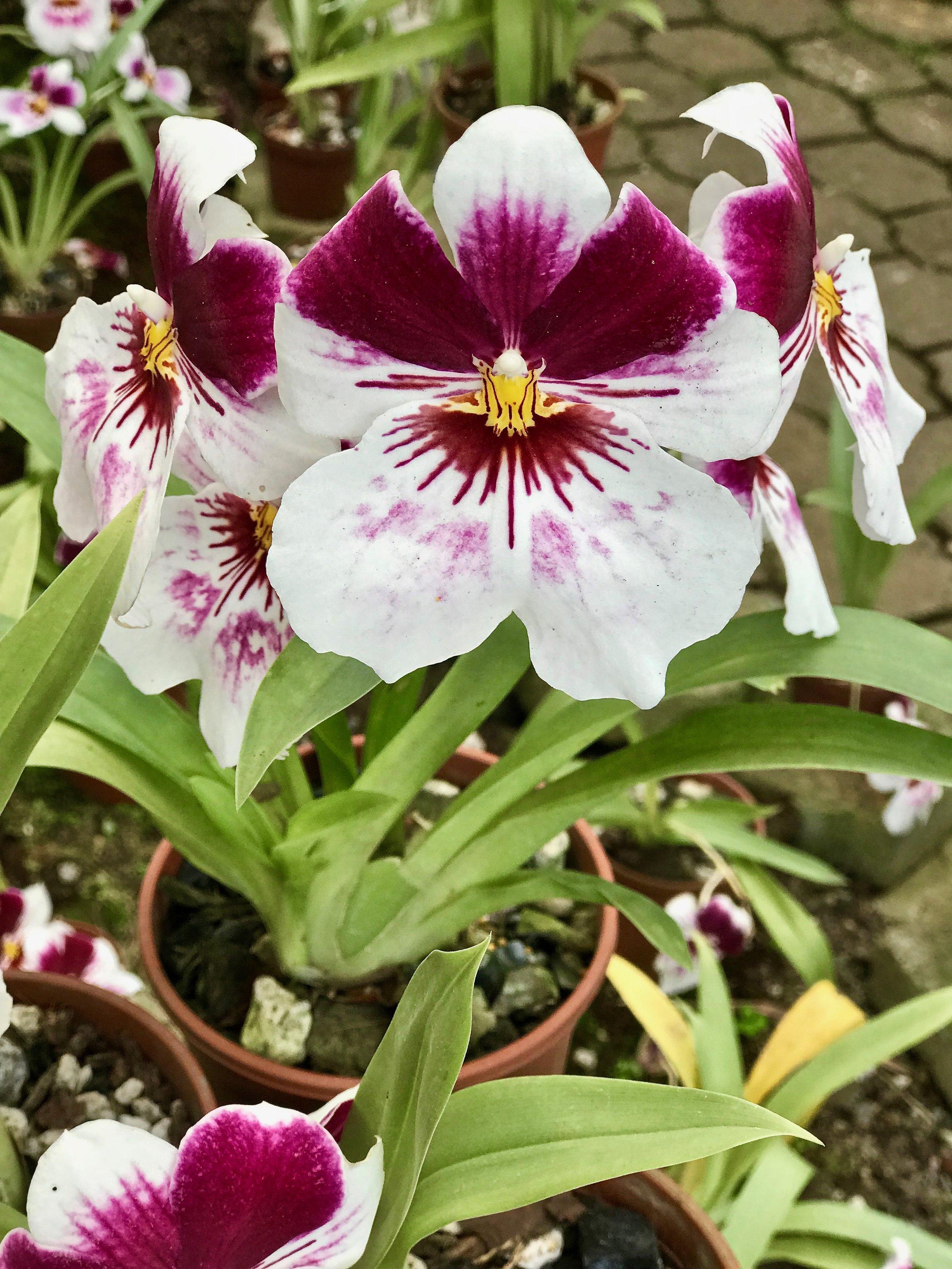 Costa Rica National Flower.jpg