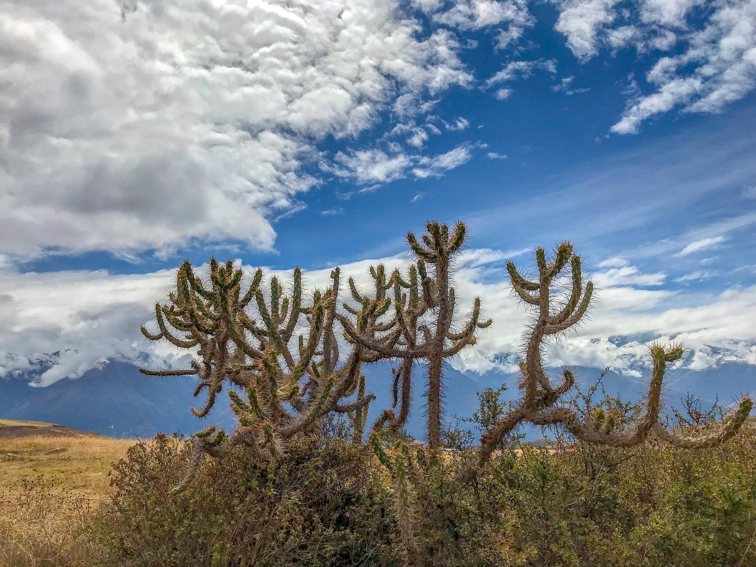 Thorned Plant in Peru.jpg