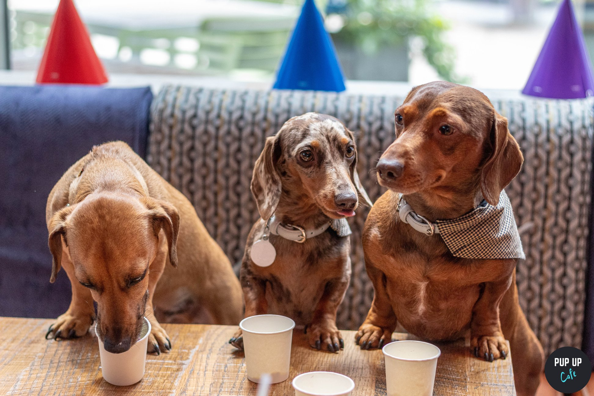 Dachshund Pop Up Cafe - We're coining this niche but necessary, finally Dachshund's get to have their moment in the sun (figuratively speaking, of course.)This August the first Pup Up Cafe comes to Revolution Parsonage Gardens to host their very own Dachshund Edition. The day offers the chance to mingle with fellow dog owners and includes beverages and snacks, we're talking pupcakes people, plus trade stands, games and photo booths.Details:Date: Sunday, 18th August, 10am - 4pmLocation: Revolution Parsonage Gardens, Arkwright House, M3 2HP Manchester, United KingdomPrice: Dogs go free, dog owners £8