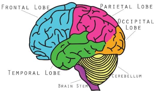 brainlobes.jpg