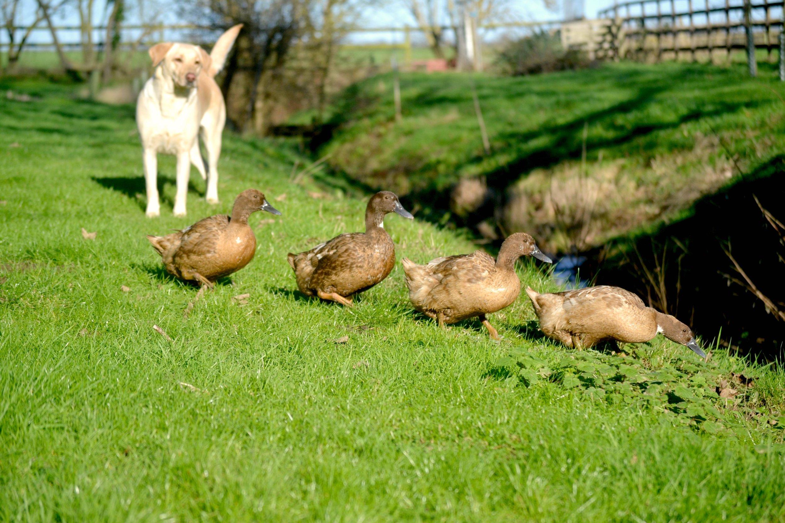 ducks-in-a-row.jpg