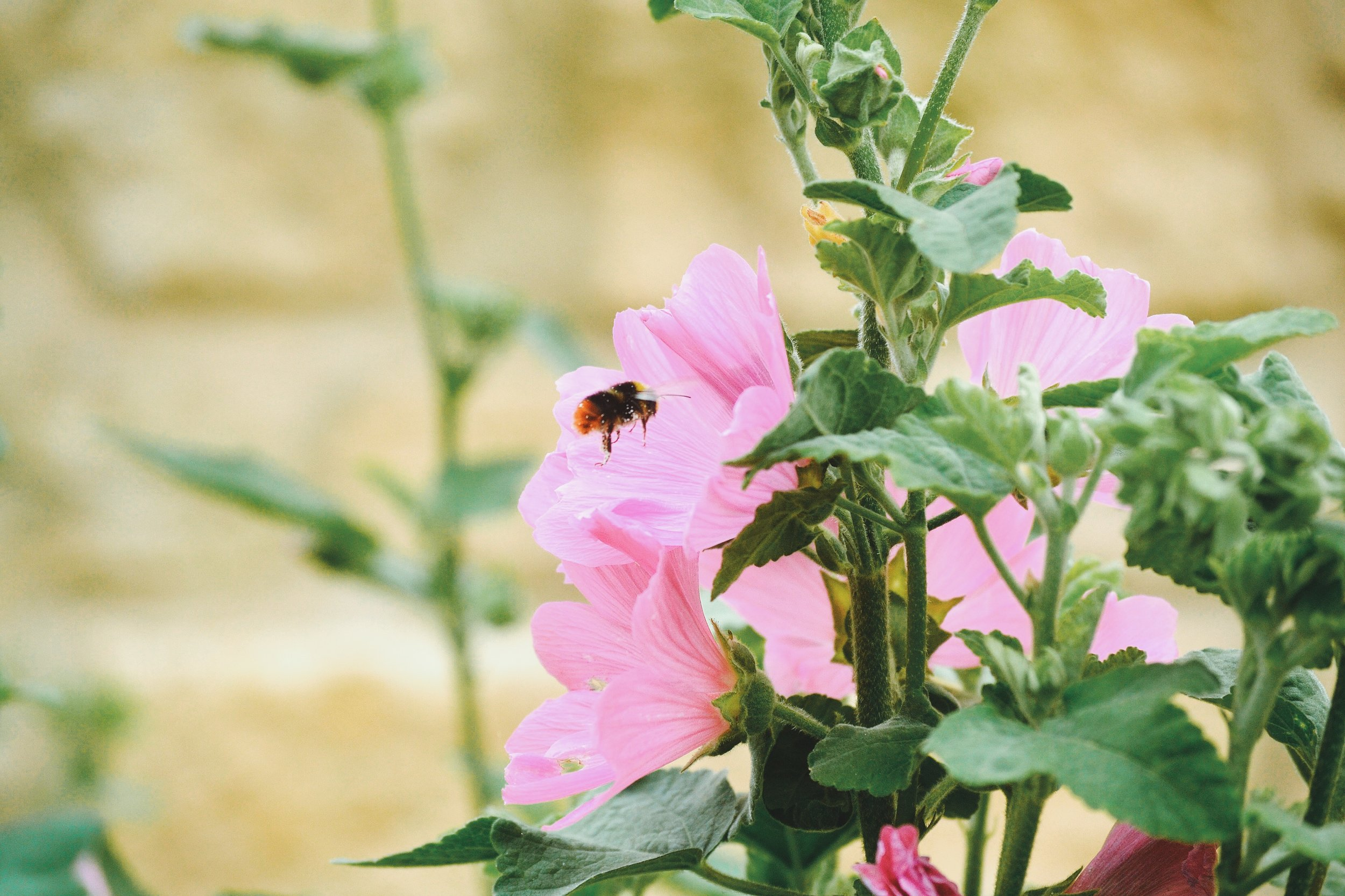 bee-and-mallow.jpg