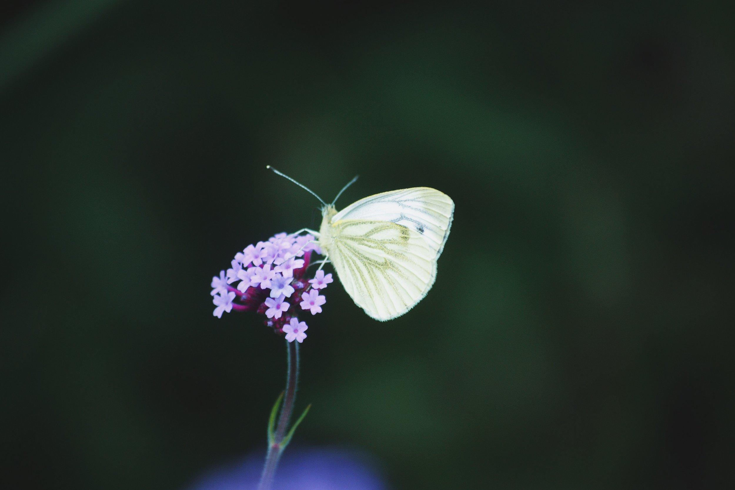 white-butterfly.jpg