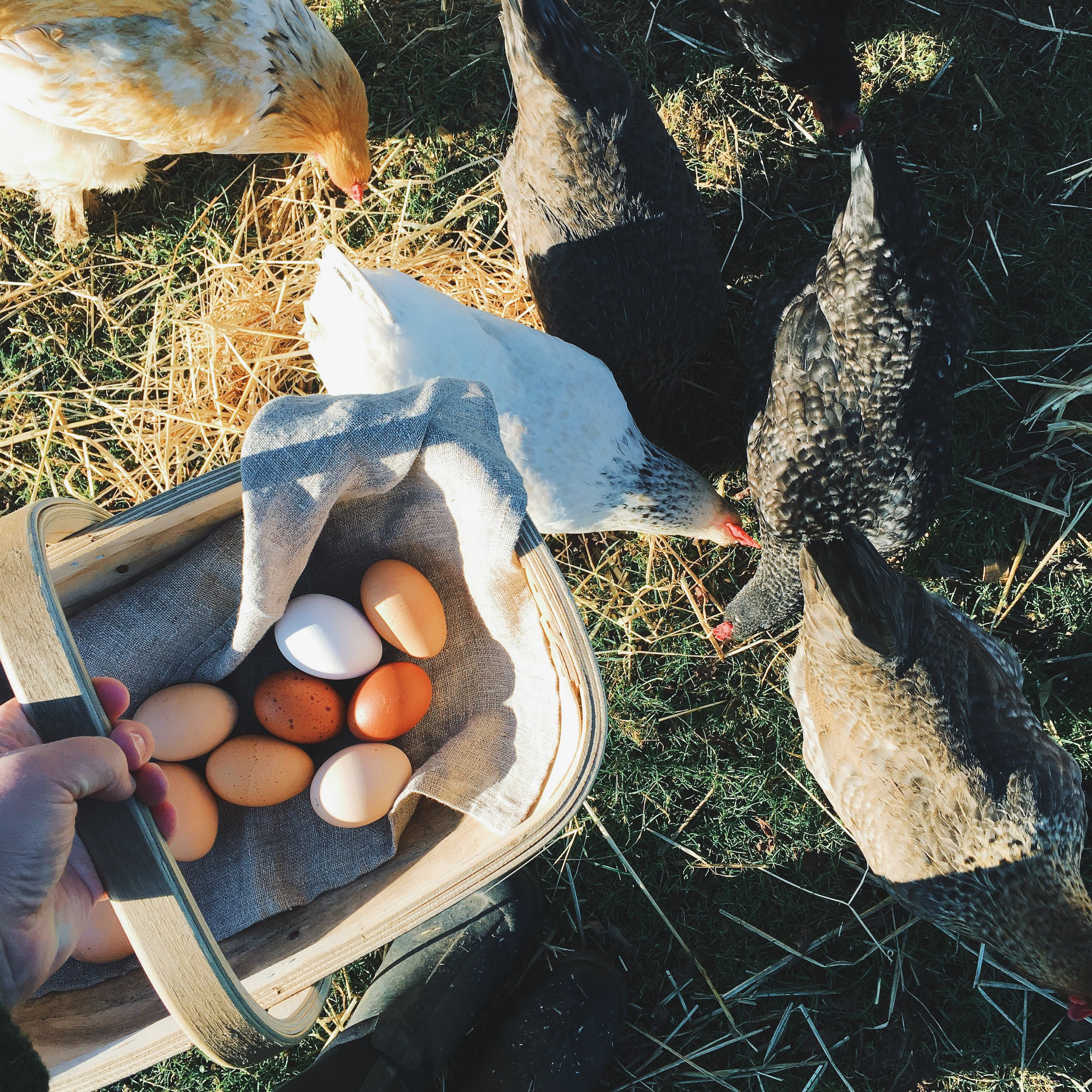 a beginners guide to keeping chickens abookishbaker.com