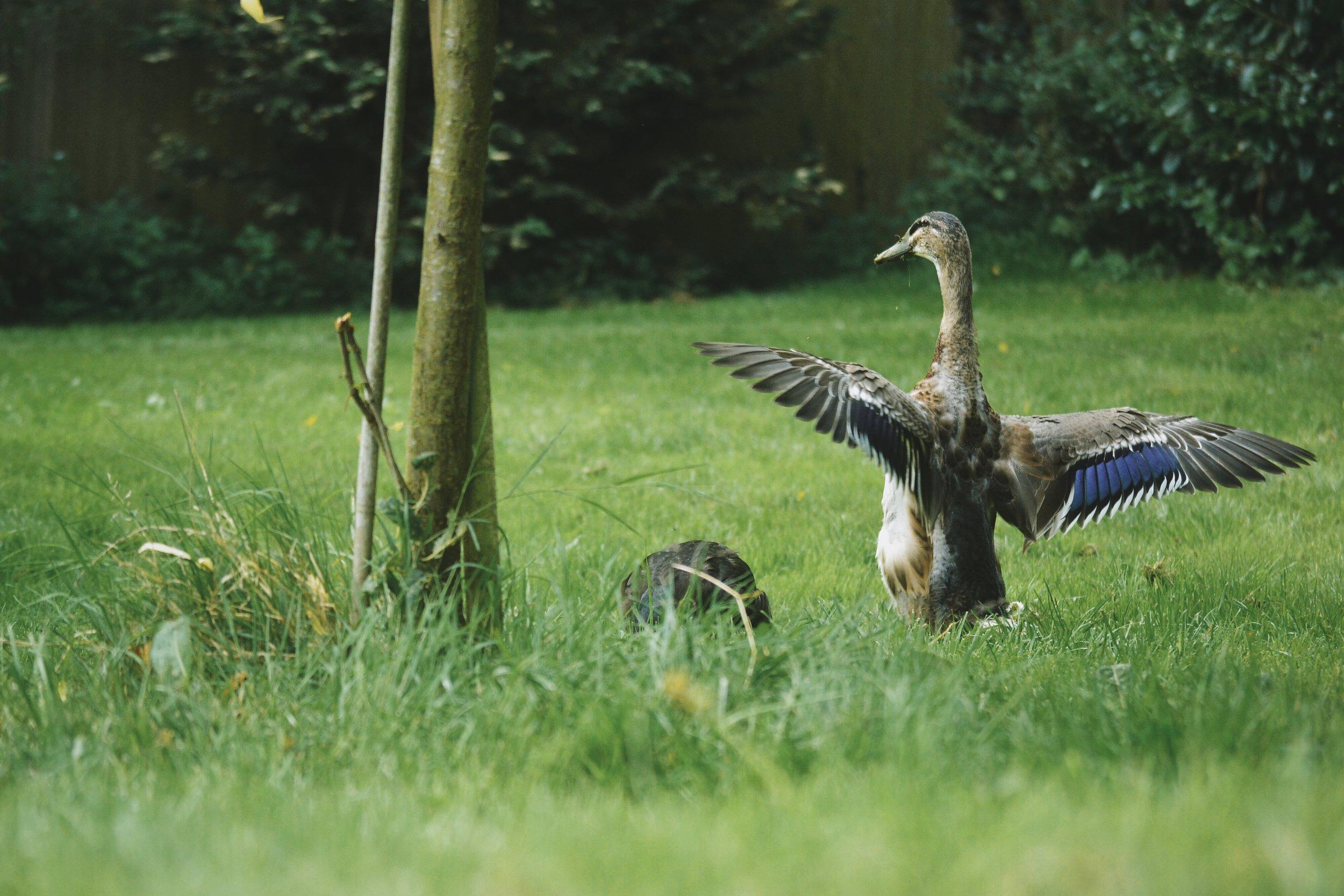 male indian runner duck