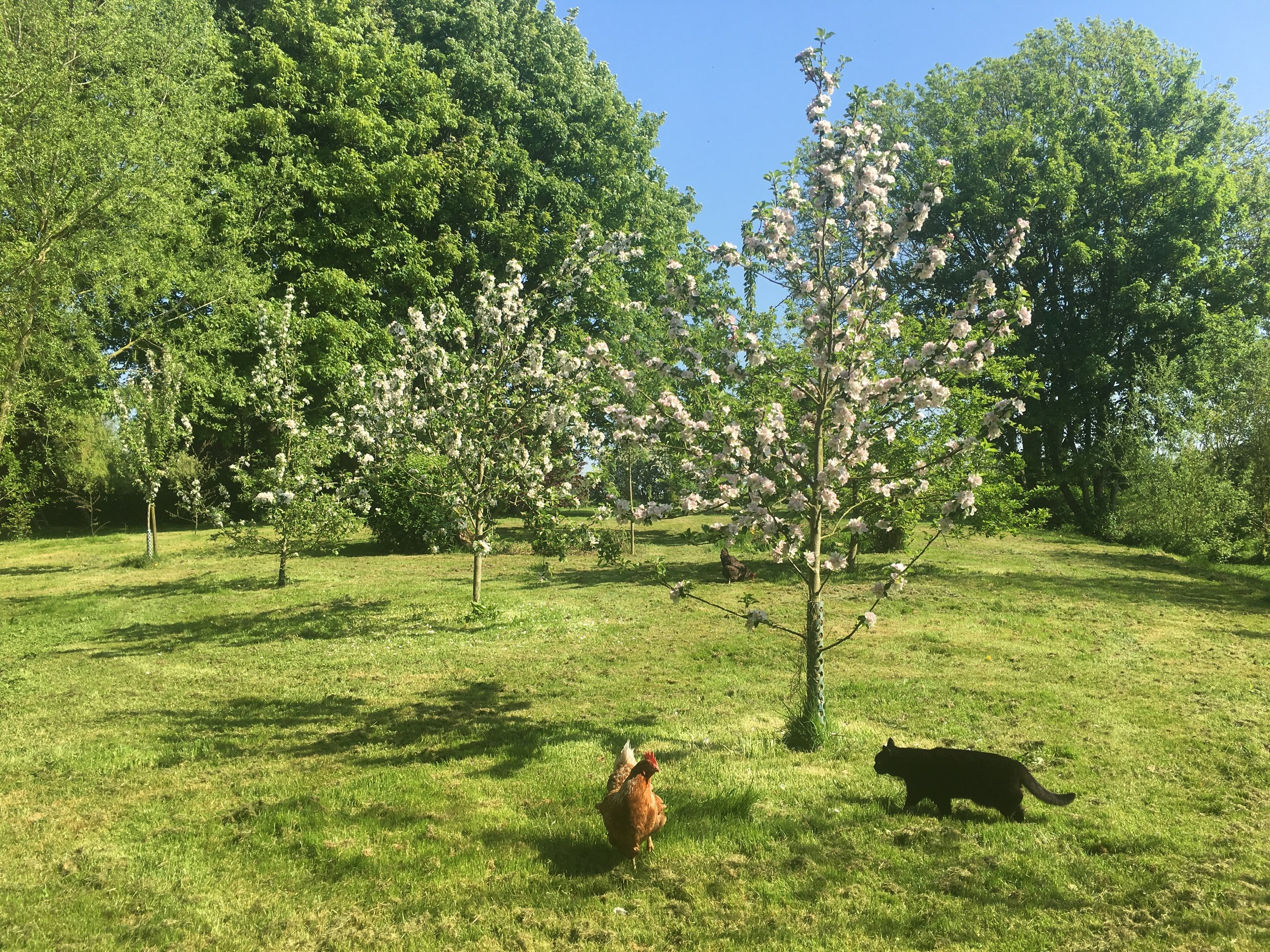 chickens in a young orchard