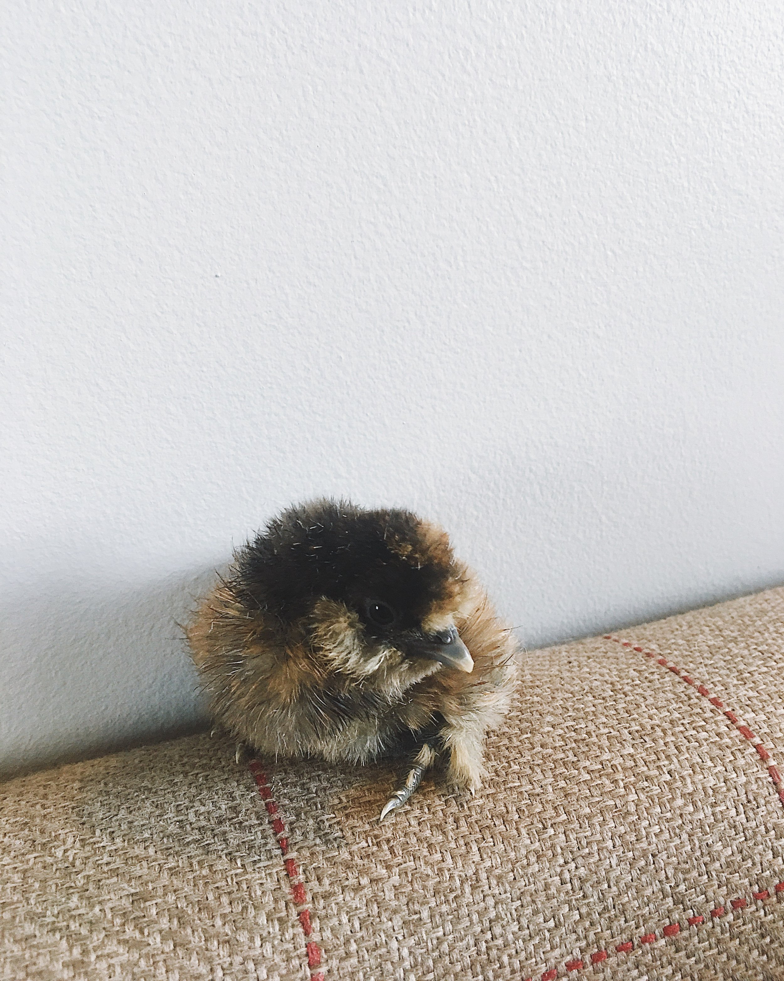 silkie chick a few hours old