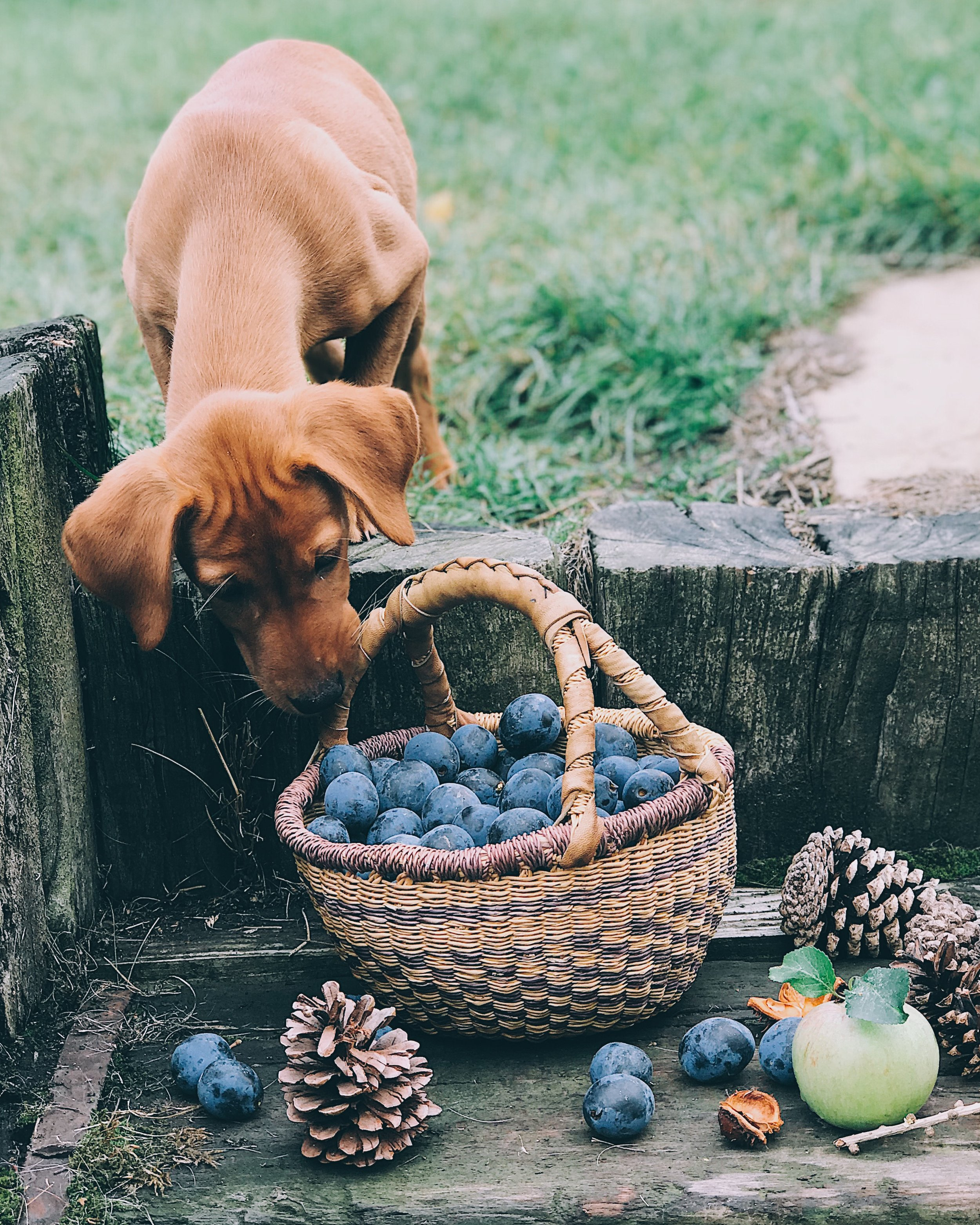 labrador puppy in autumn