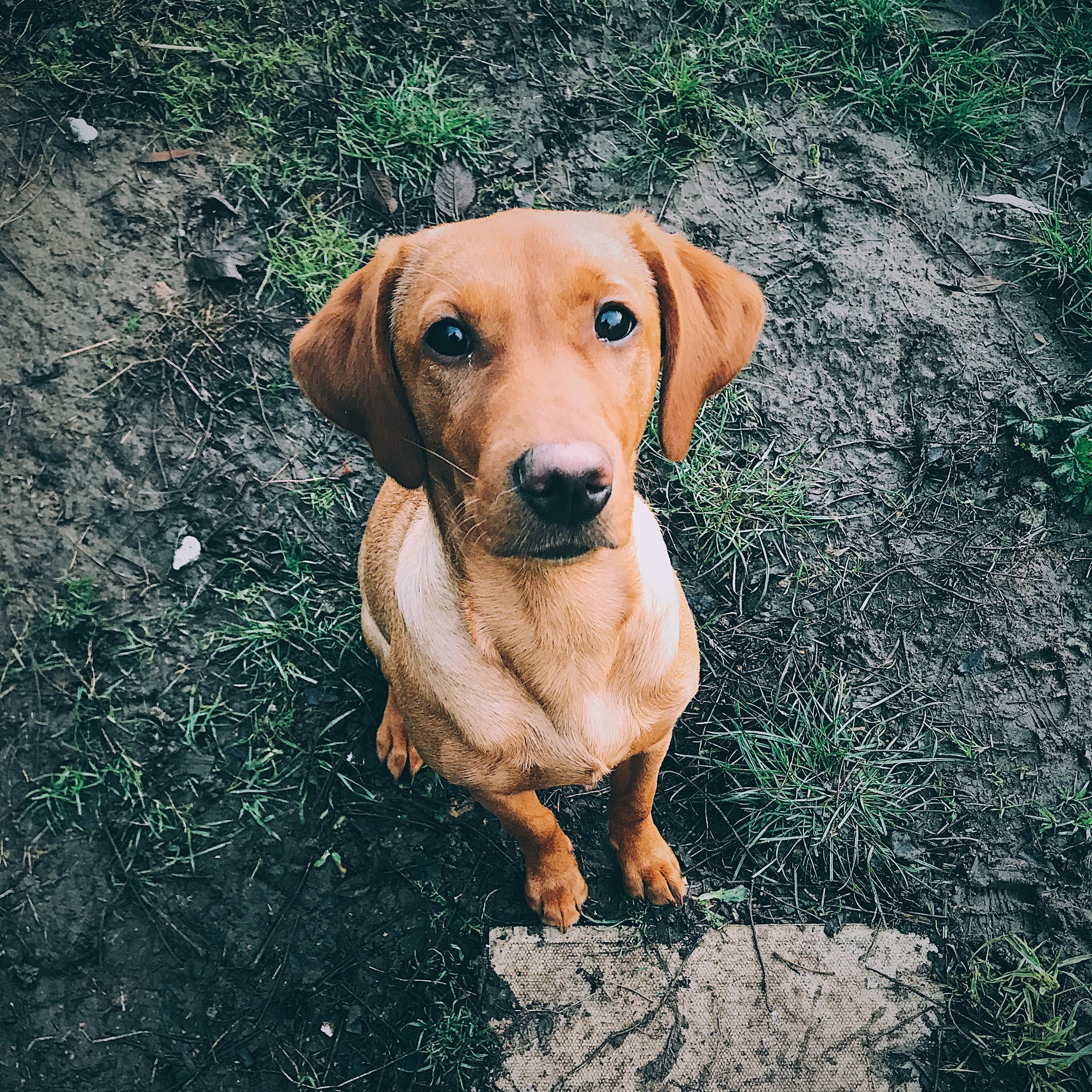 the fox red labrador puppy at six months