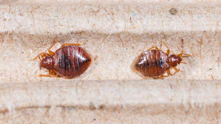 Bed Bug Exterminator -