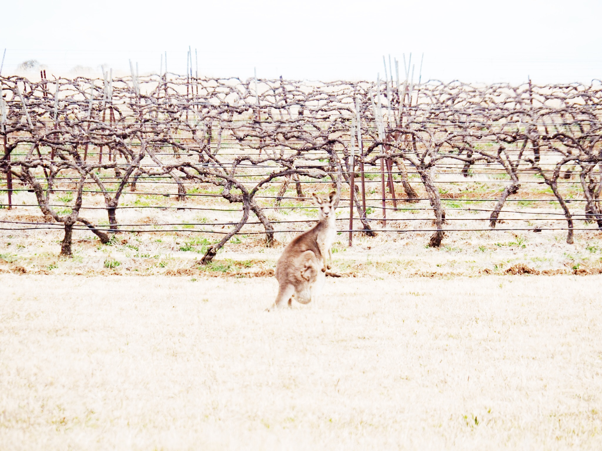 Kangaroos hopping between the vines.....you can't get more Australian. Pic Sheriden Rhodes